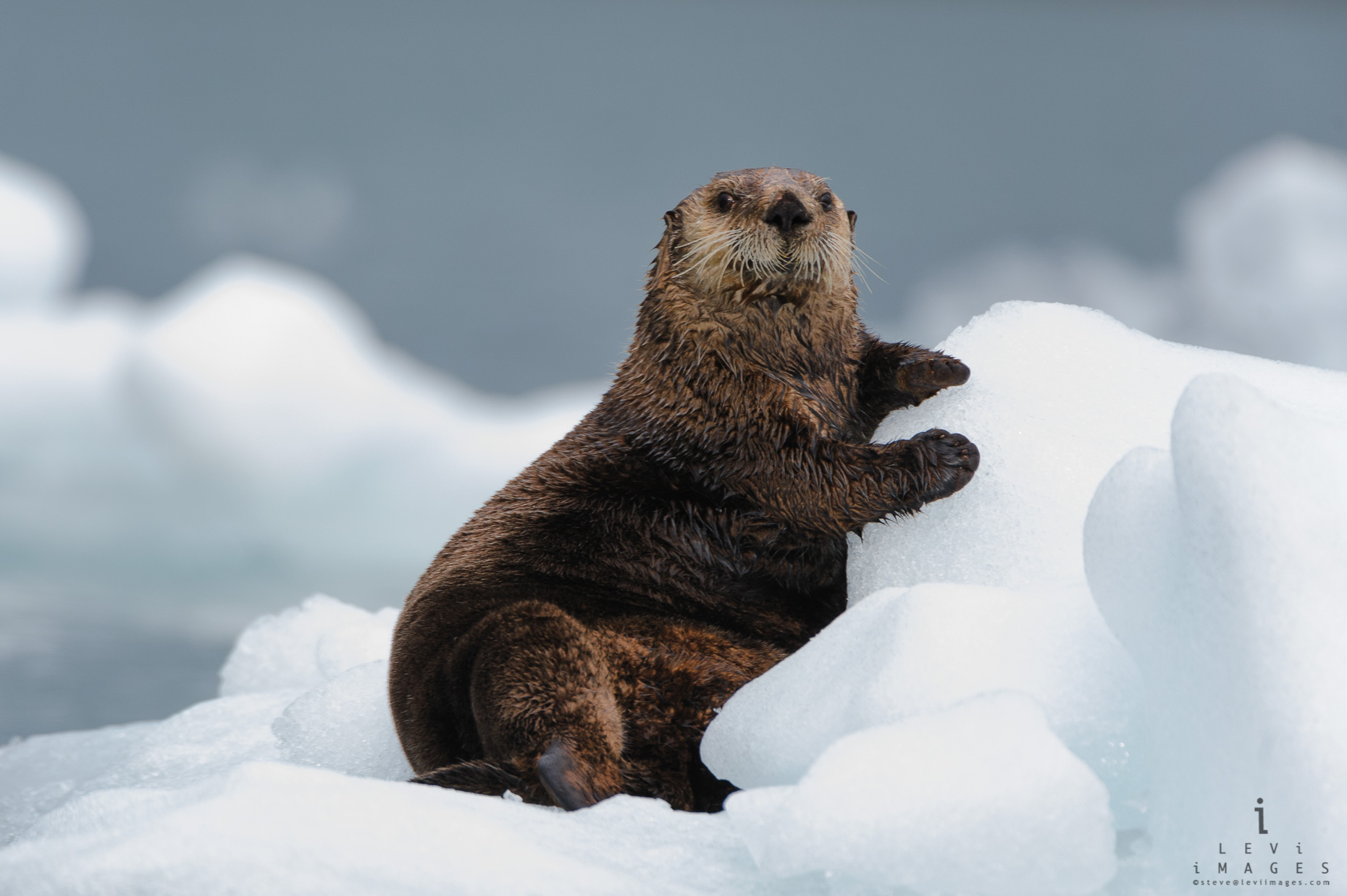 A sea otter (Enhydra lutris) poses on ice in Prince William Sound, Alaska