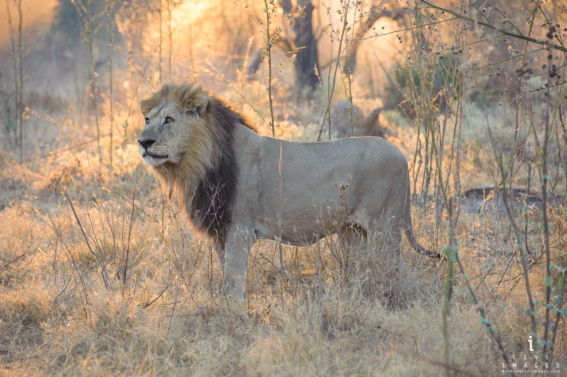 Male lion (Panthera leo) in early morning light, Okavango Delta, Botswana
