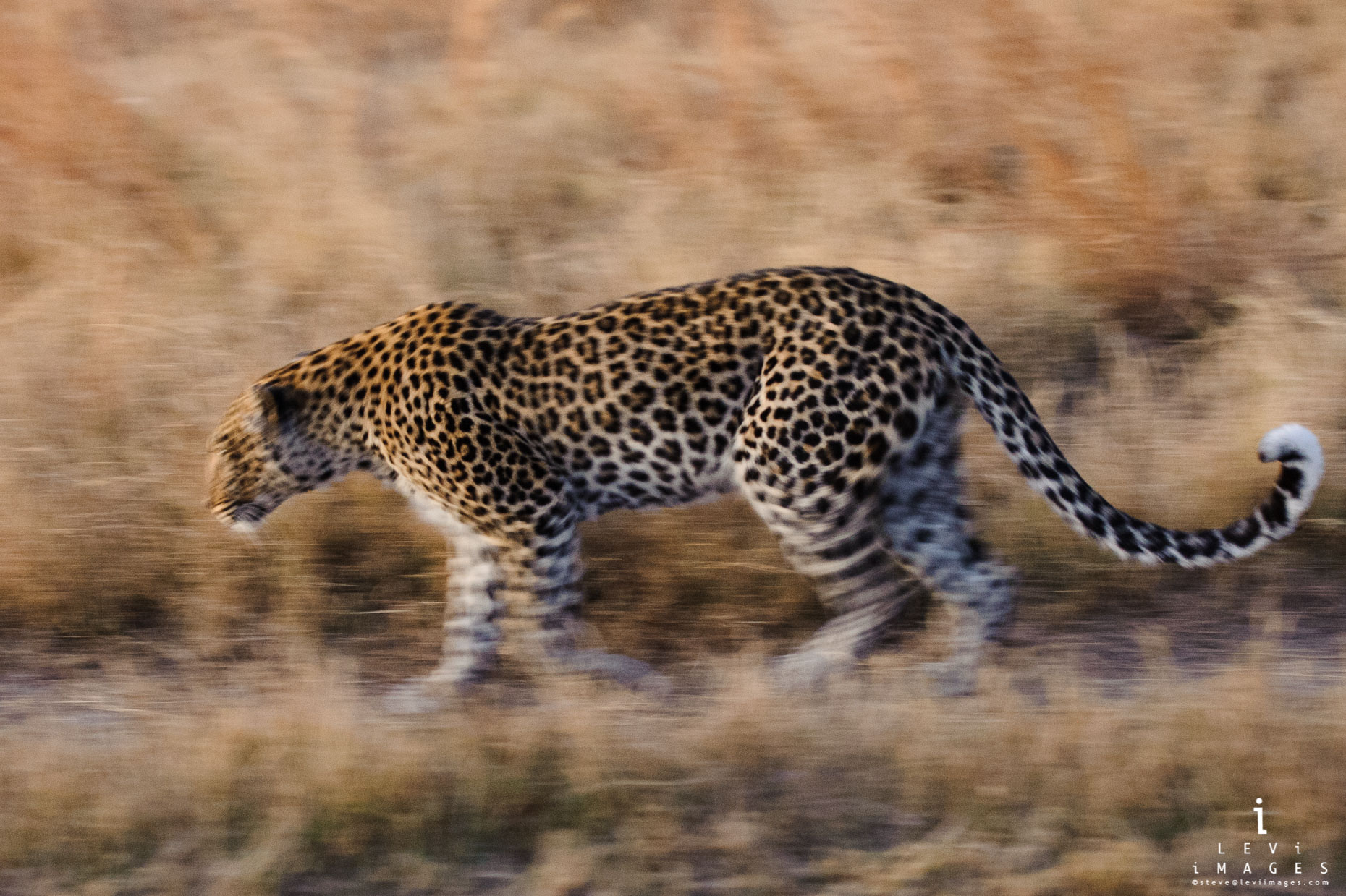 Leopard (Panthera pardus) on the move, slow panned, Botswana, Africa