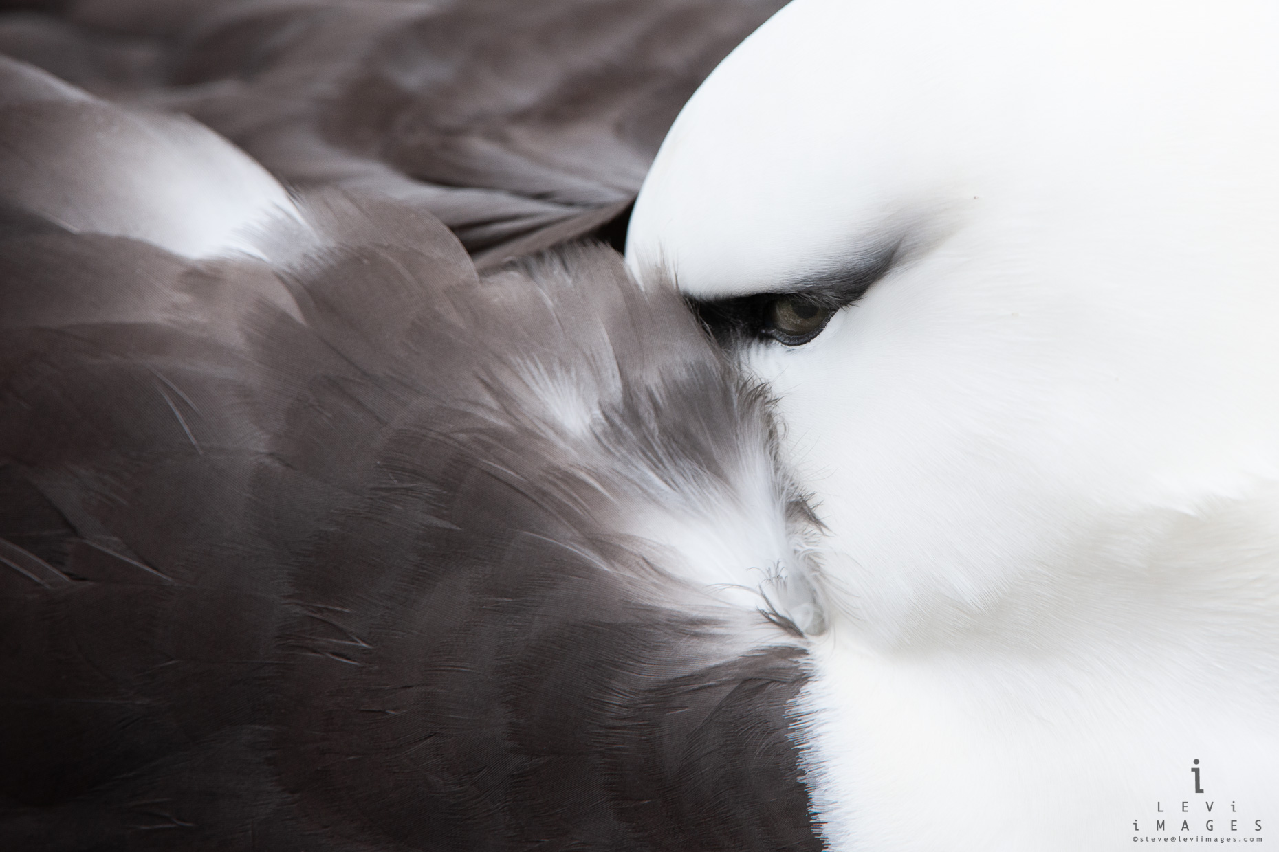 Black-browed albatross (Thalassarche melanophris) close up. Eye and Feather detail. New Island, Falkland Islands