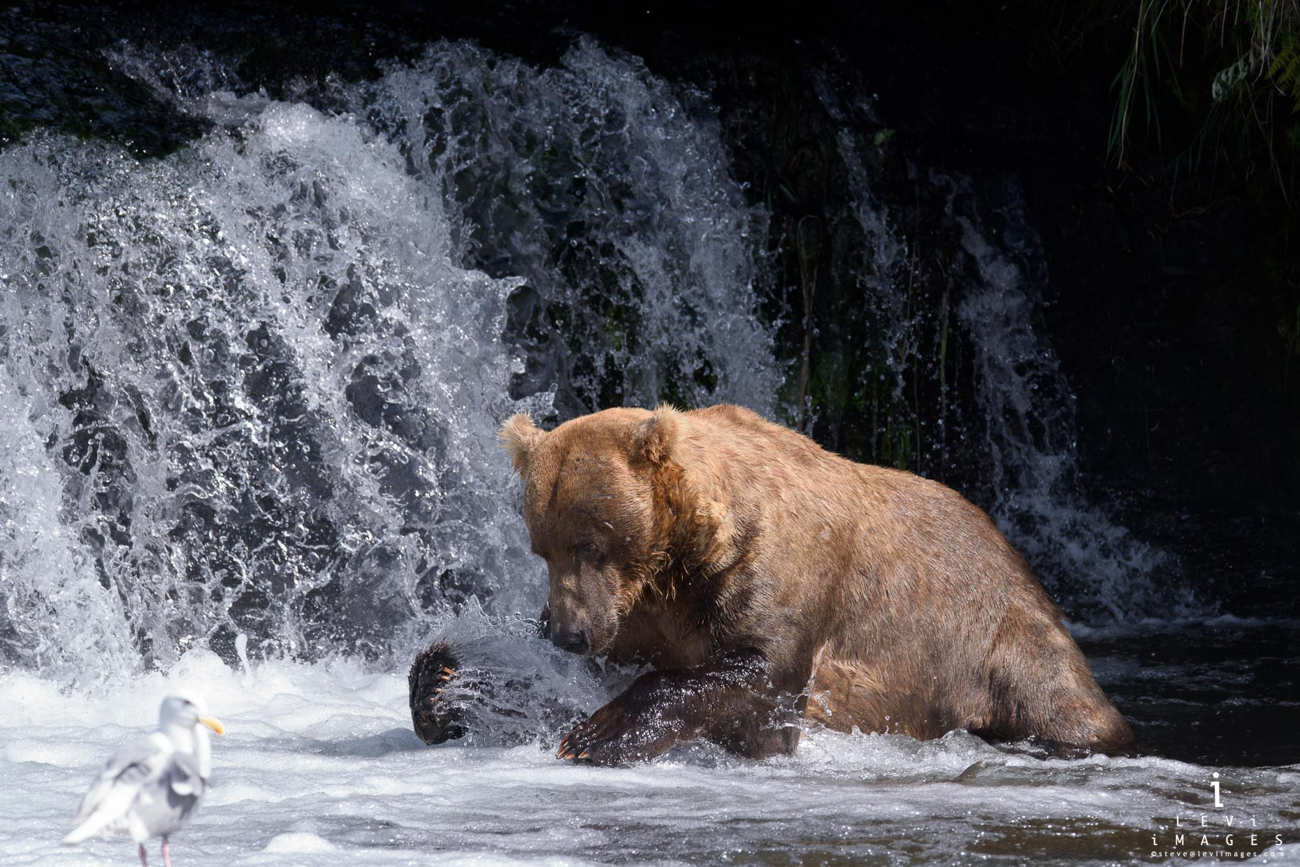 Brown bear (Ursus arctos) bear lunges for fish at base of waterfall.  Brooks Falls, Katmai, Alaska
