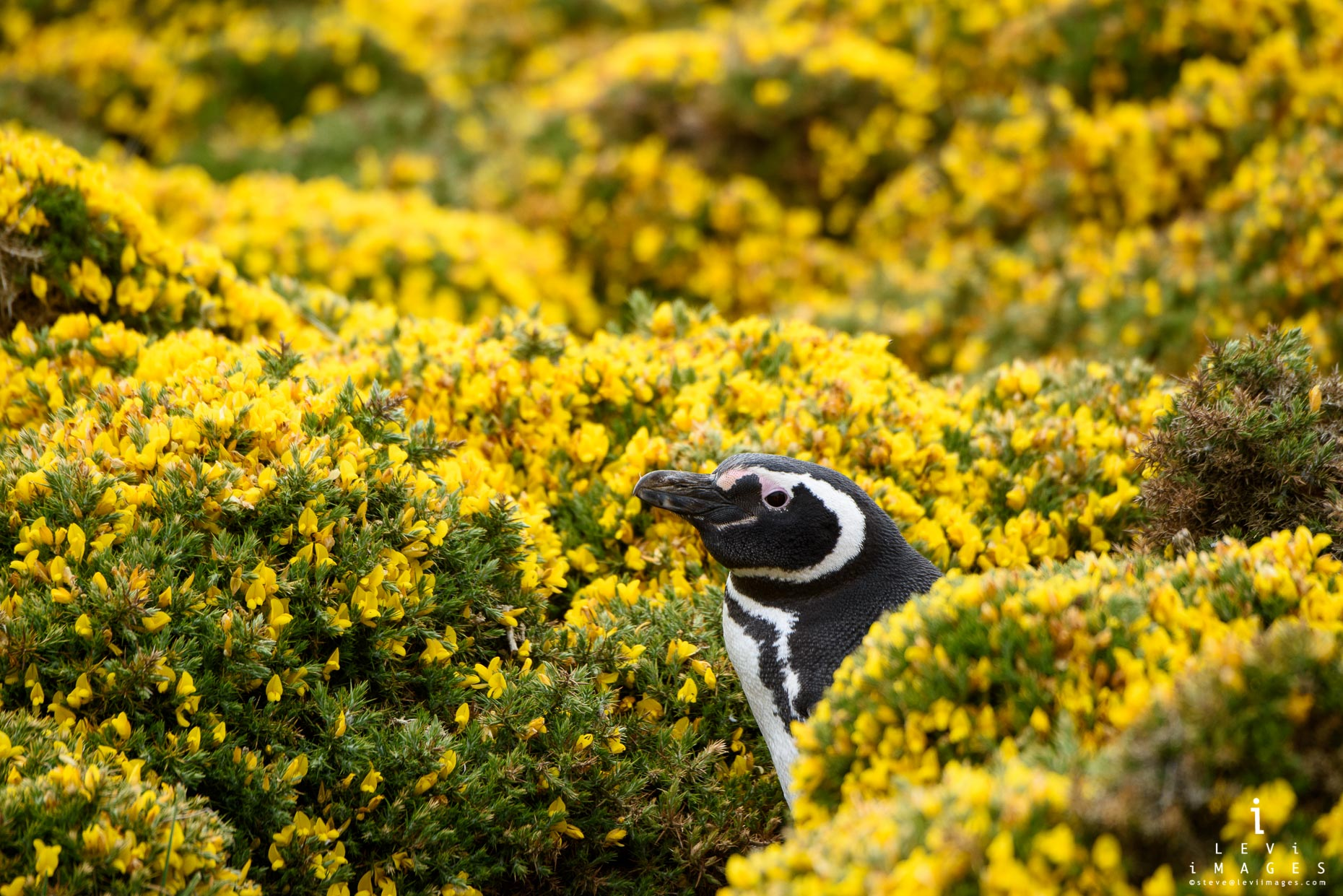 A Magellanic penguin (Spheniscus magellanicus) peeks out of gorse bushes. Bleaker Island, Falkland Islands