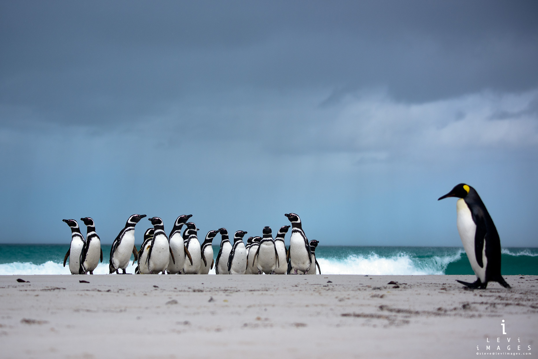 Magellanic penguins (Spheniscus magellanicus) on beach with dramatic clouds. Volunteer point, Falkland Islands