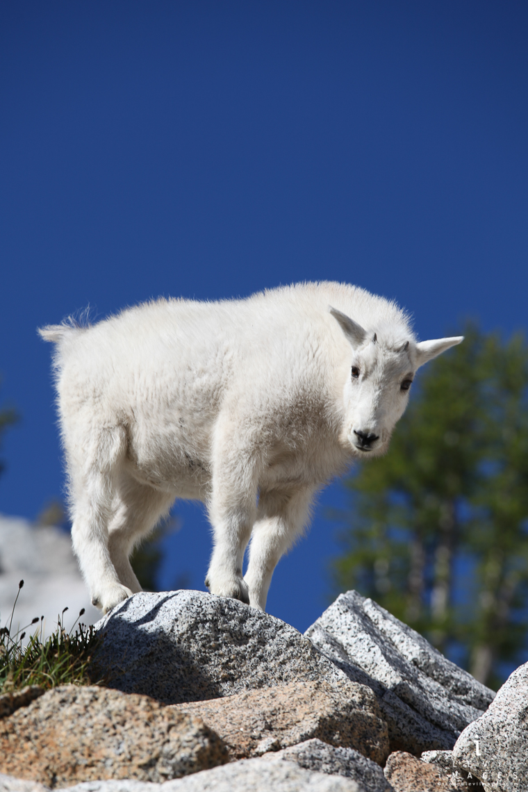 Mountain goat on rocks, Enchantments, Washington