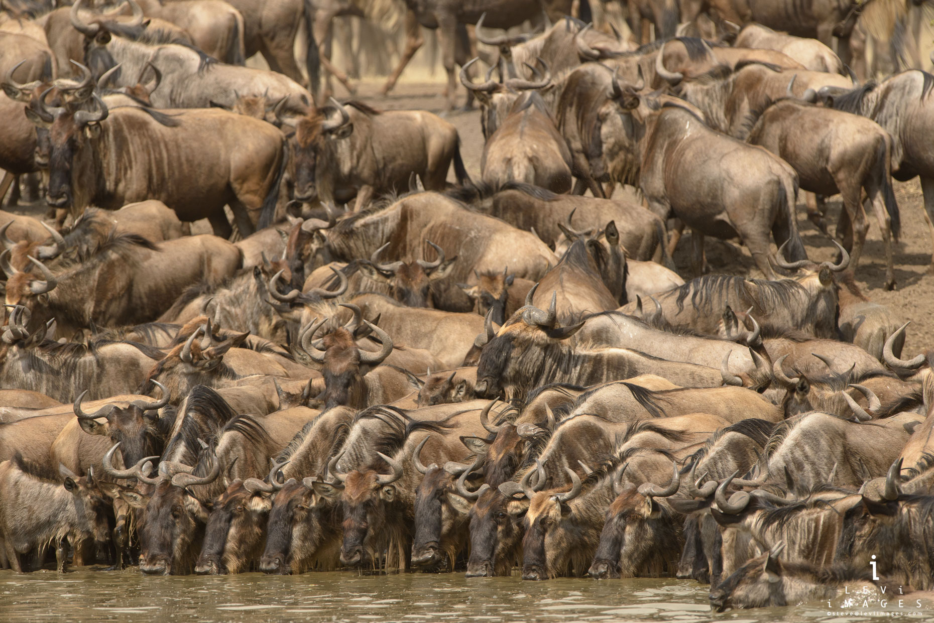 Wildebeests (Connochaetes taurinus) lined up and drinking at waterhole. Serengeti Africa