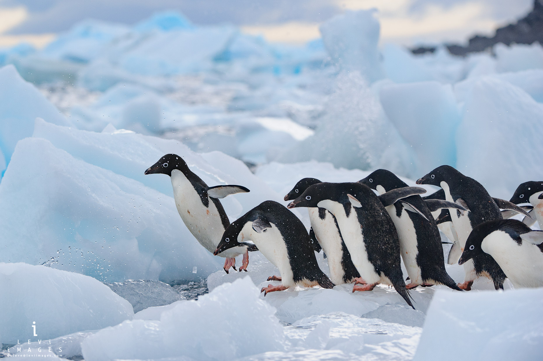 Adélie penguins (Pygoscelis adeliae) jumping off iceberg fragments enter the sea. Paulet Island, Antarctica