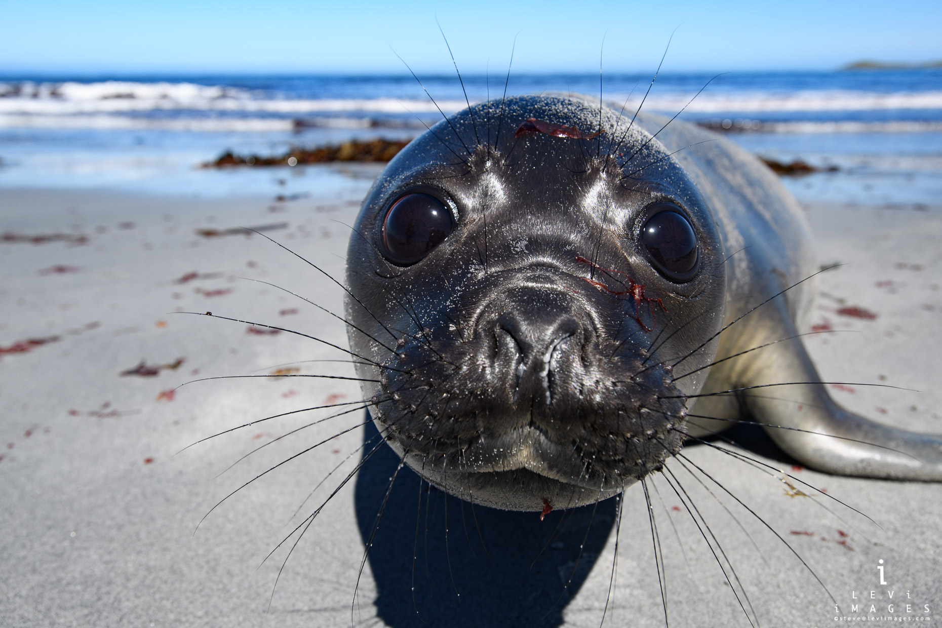 Adorable southern elephant seal (Mirounga leonina) seal pup. Sea Lion Island,  Falklands