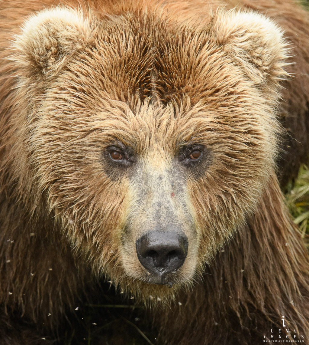 Coastal brown bear (Ursus arctos) headshot portrait. Katmai, Alaska