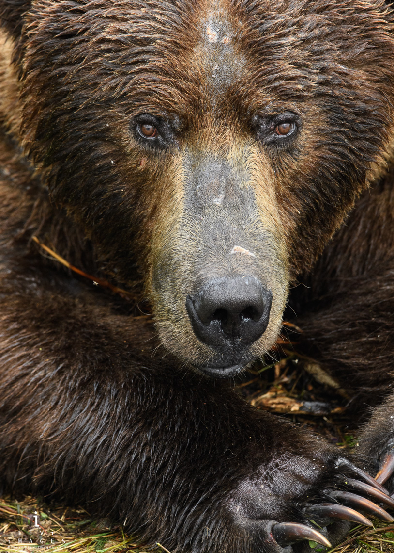 Brown bear (Ursus arctos) headshot portrait. Katmai, Alaska