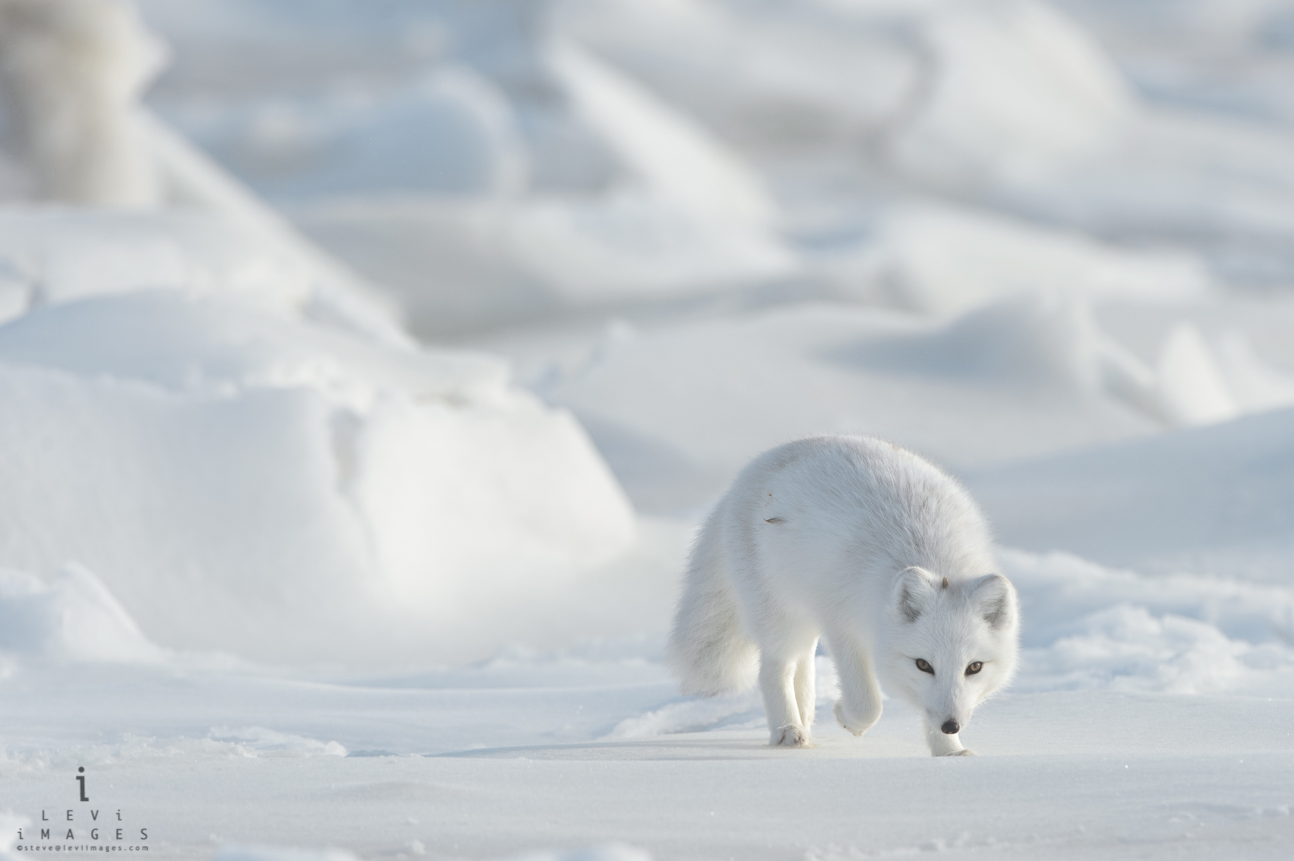 Arctic fox (Vulpes lagopus) on frozen sea approaches. Hudson Bay, Manitoba, Canada