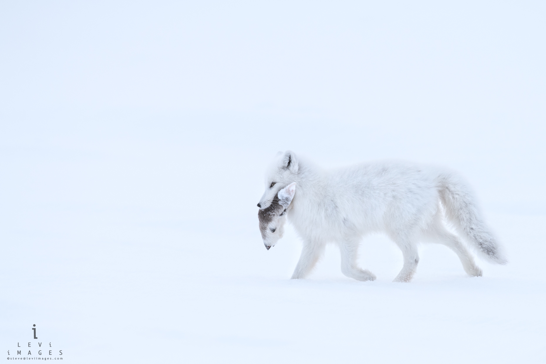 Arctic fox (Vulpes lagopus) in winter carrying  Caribou hoof in mouth. Wapusk National Park, Manitoba, Canada