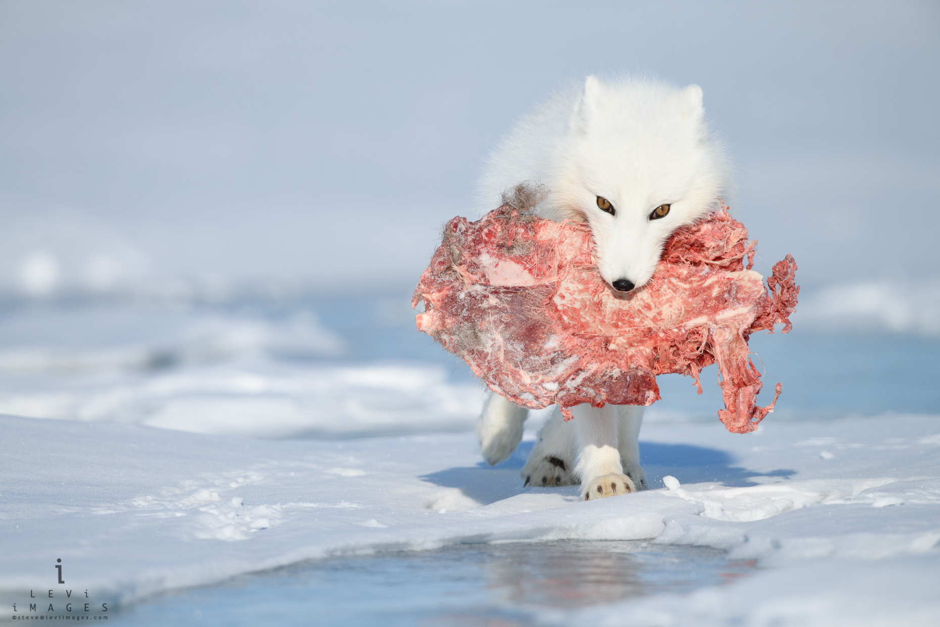 Arctic fox (Vulpes lagopus) in winter with Caribou shoulder in mouth. Wapusk National Park, Manitoba, Canada