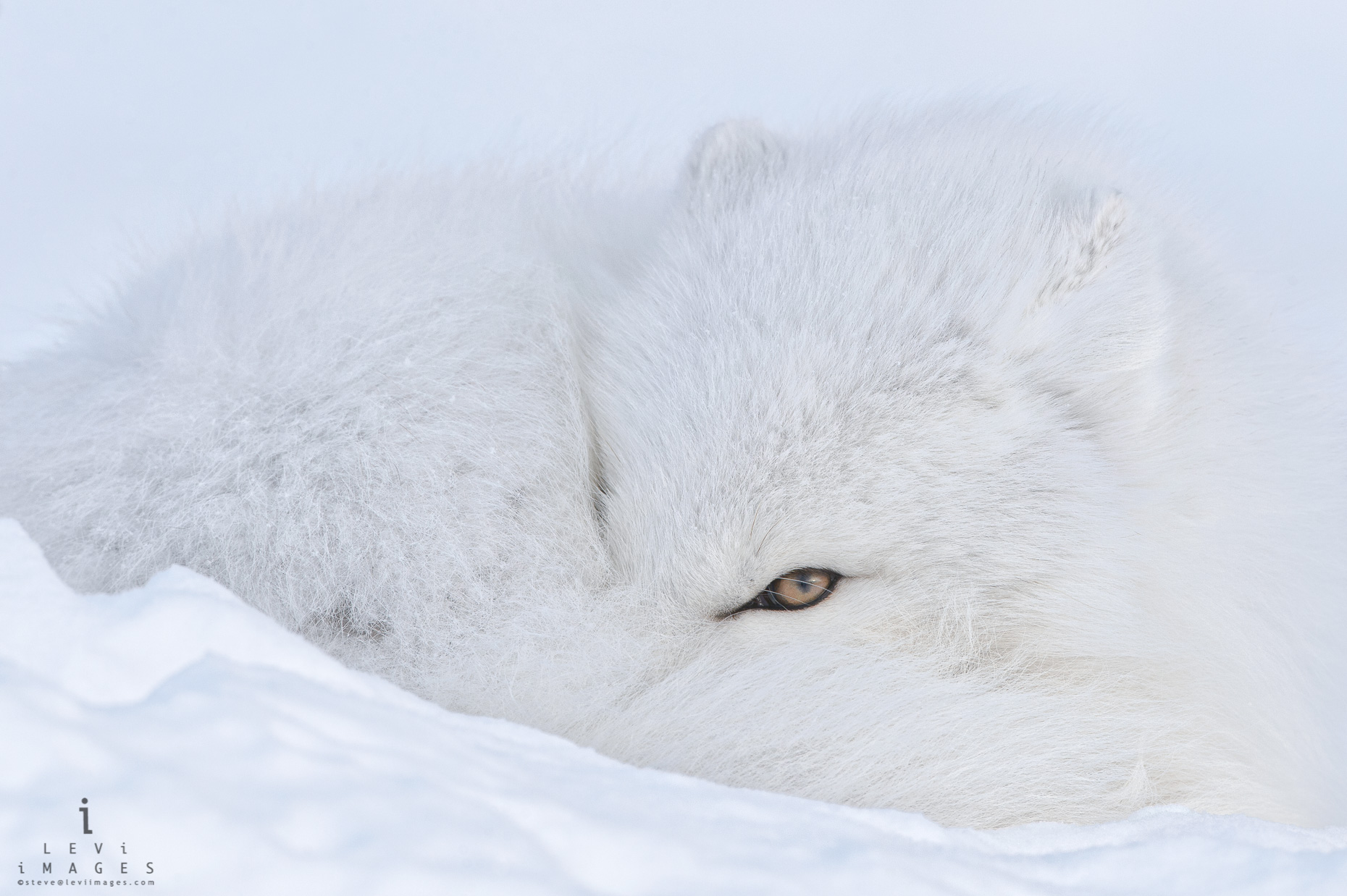 Arctic Fox (Vulpes lagopus) curled-up on snow looks at the camera with one eye. Manitoba, Canada