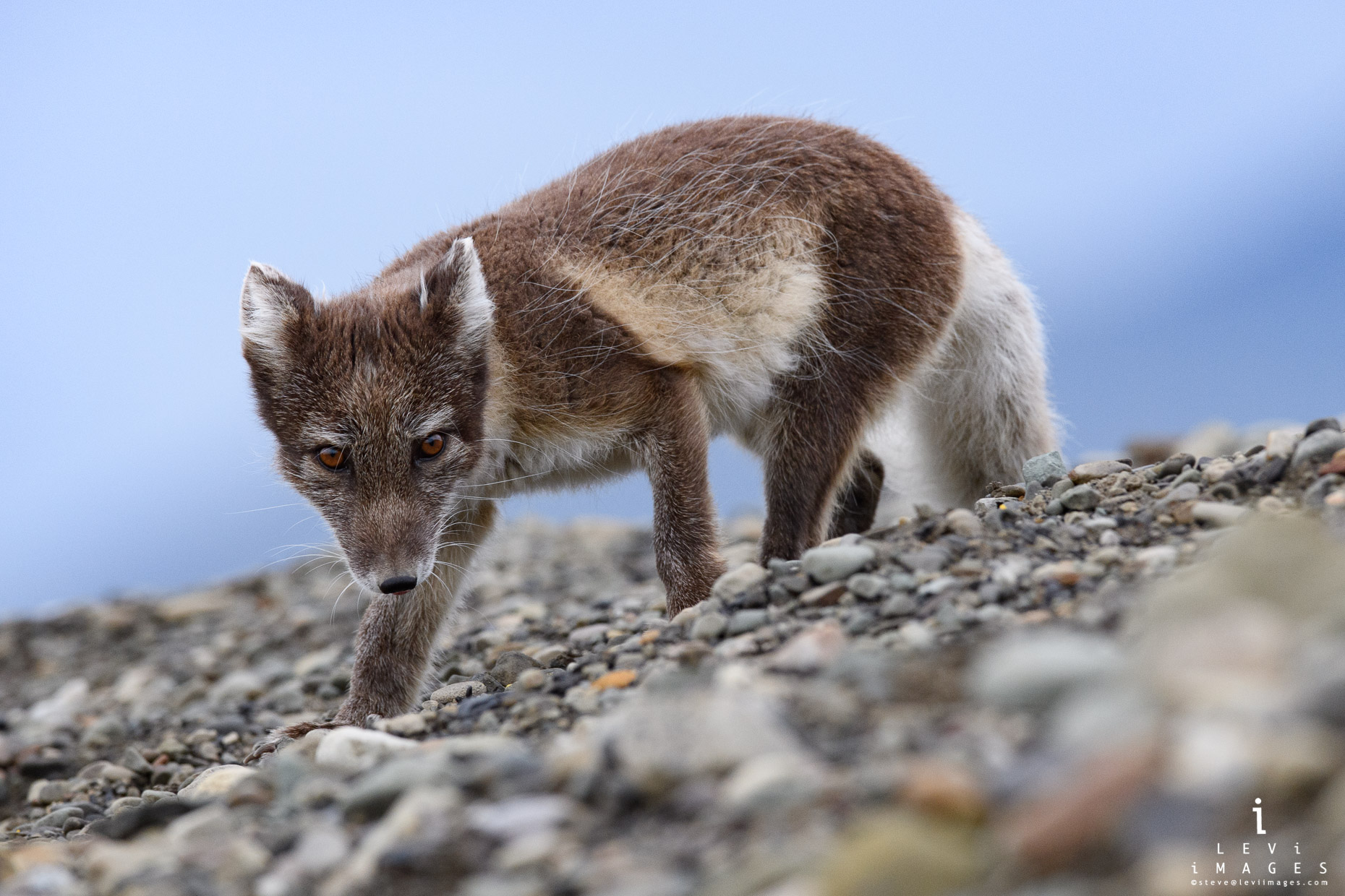 Arctic fox (Vulpes lagopus) summer coat brown. Svalbard, Norway