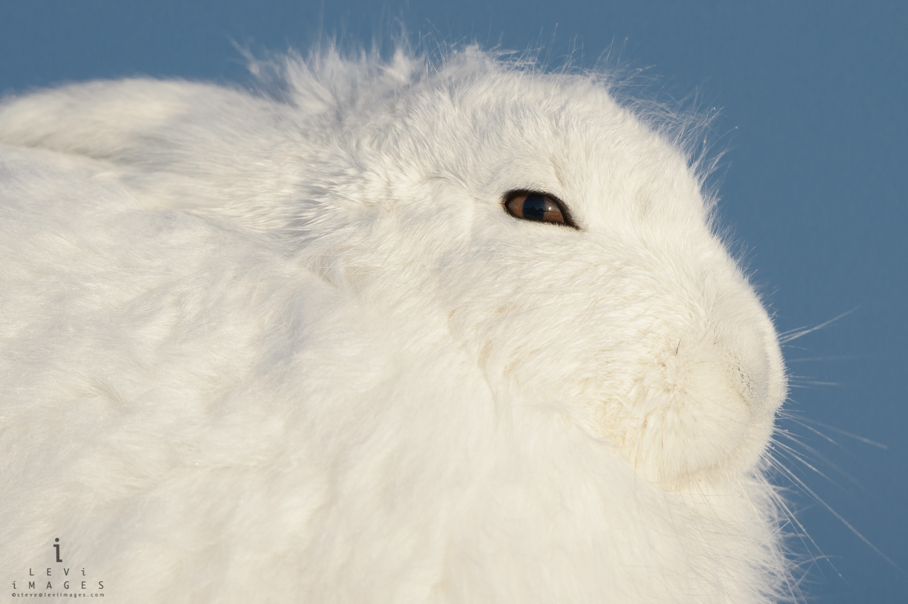 Arctic hare (Lepus arcticus) basks in the afternoon sun. Manitoba, Canada