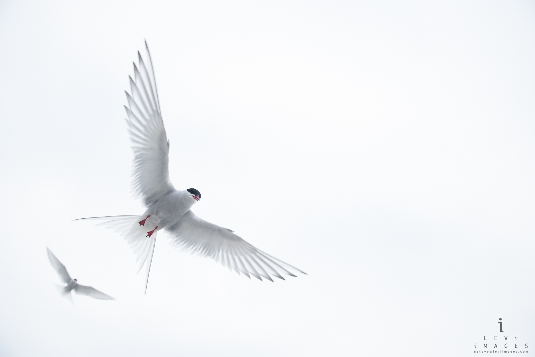 Two Arctic terns (Sterna paradisaea) flying. Svalbard, Norway