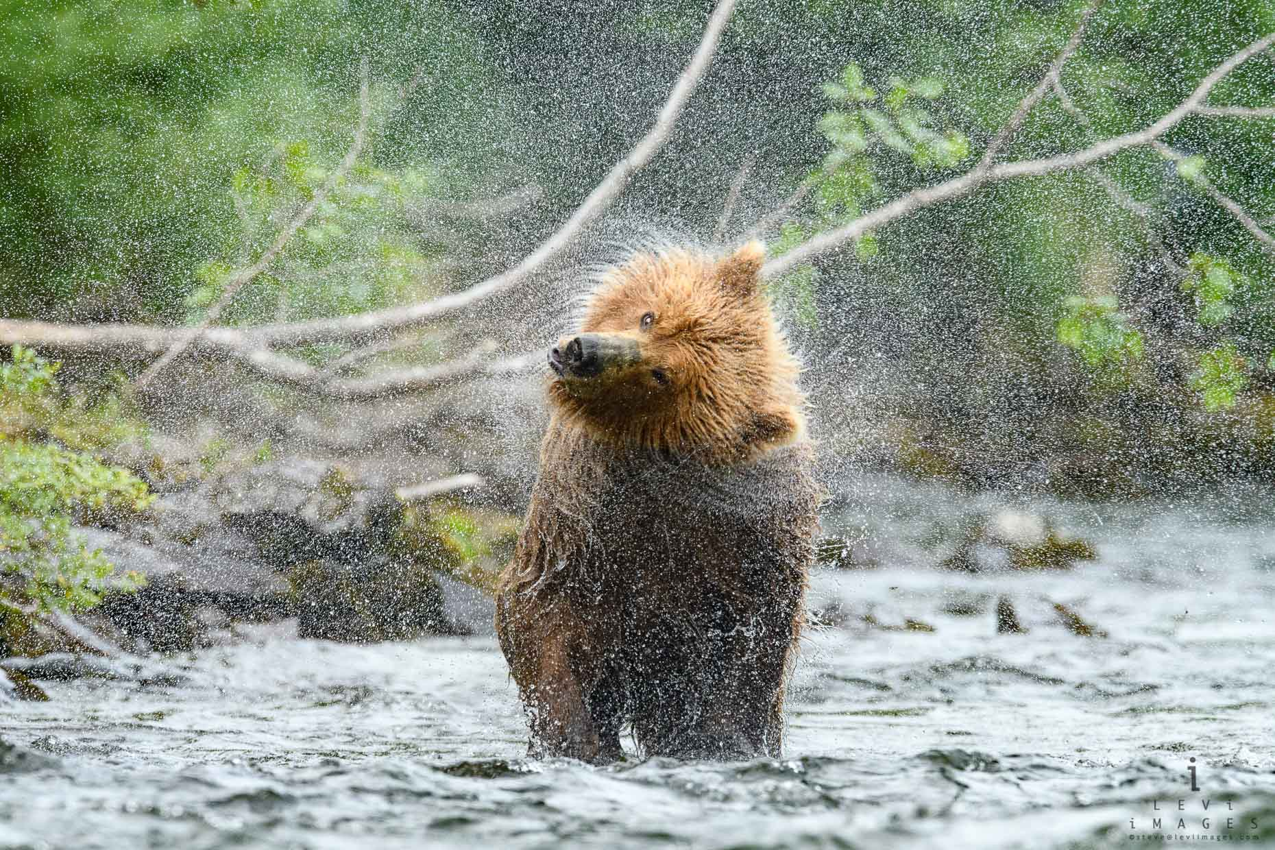 Brown bear (Ursus arctos) shakes water off creating a spray pattern. Katmai, Alaska