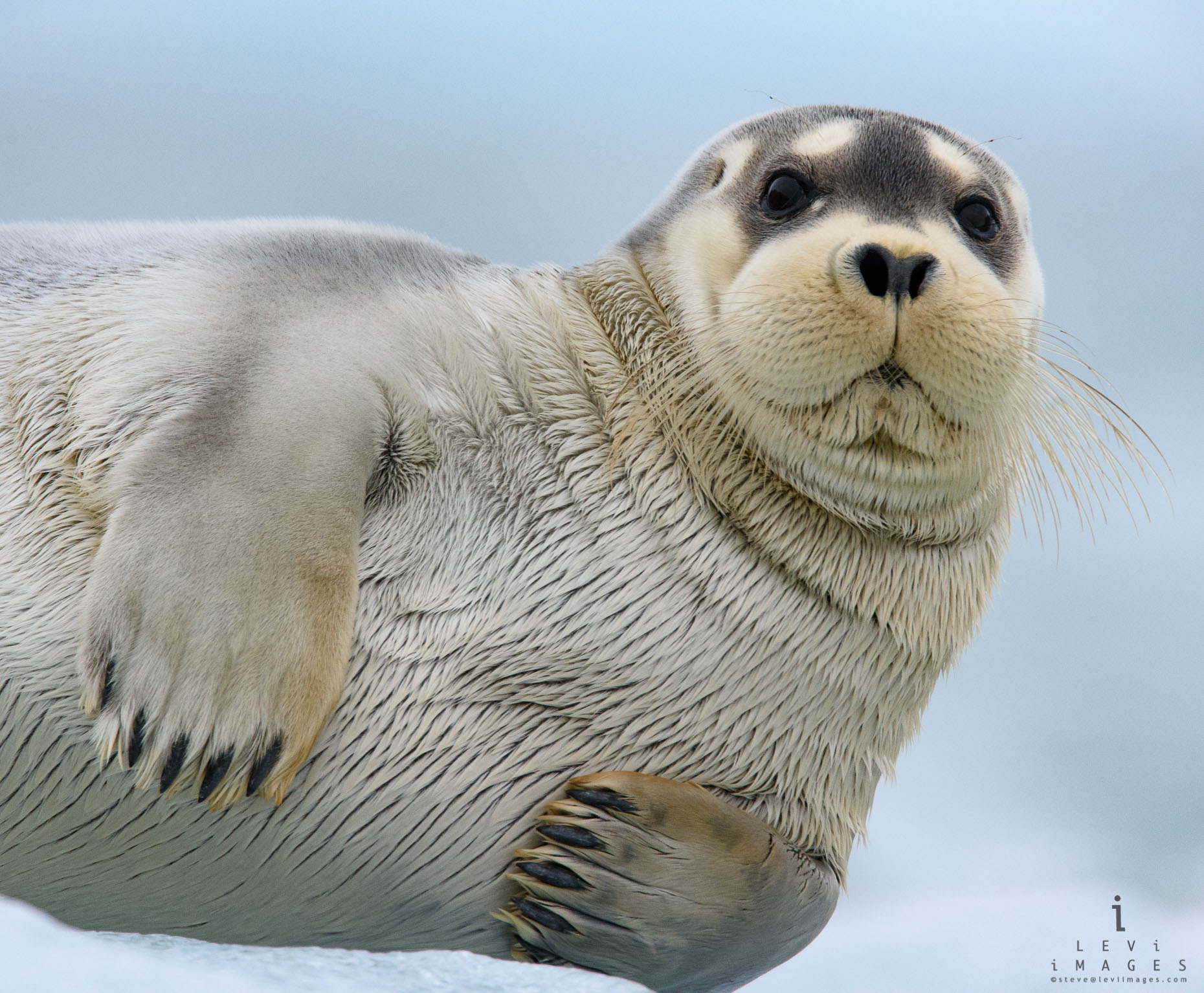 Bearded seal (Erignathus barbatus) portrait. Svalbard, Norway