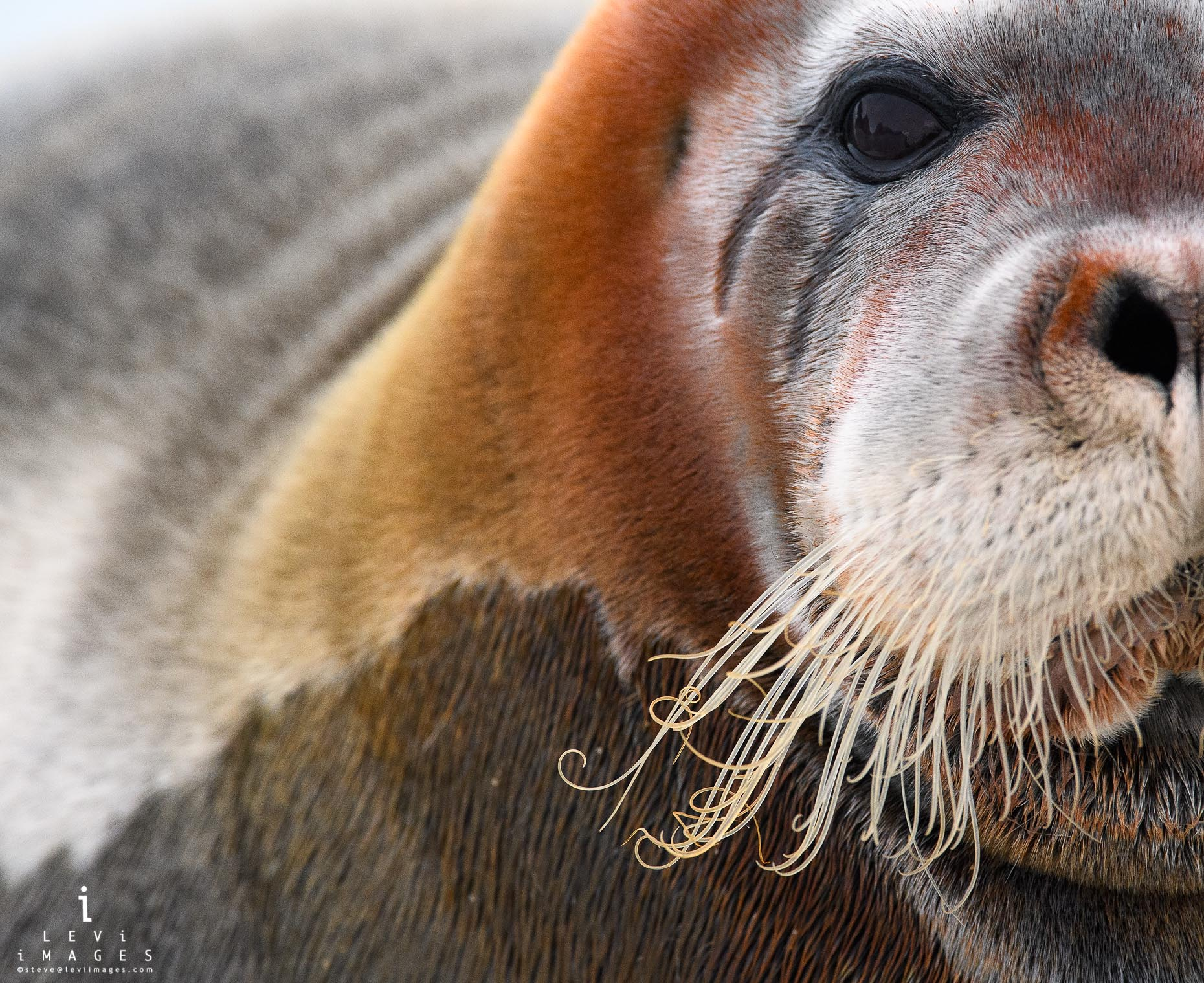 Rust-colored bearded seal (Erignathus barbatus) portrait. Svalbard, Norway