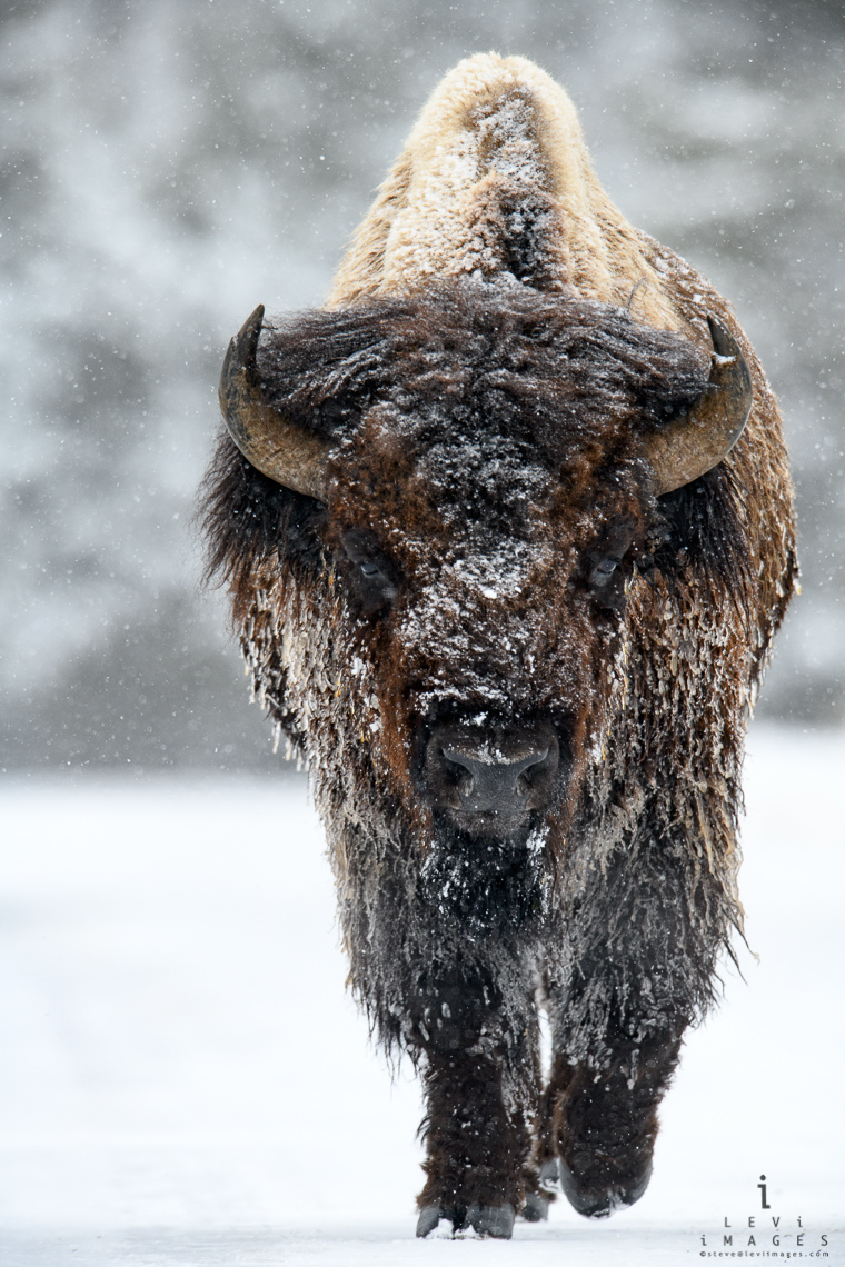 Ice-coated bison (Bison bison) portrait vertical. Yellowstone National Park, Wyoming