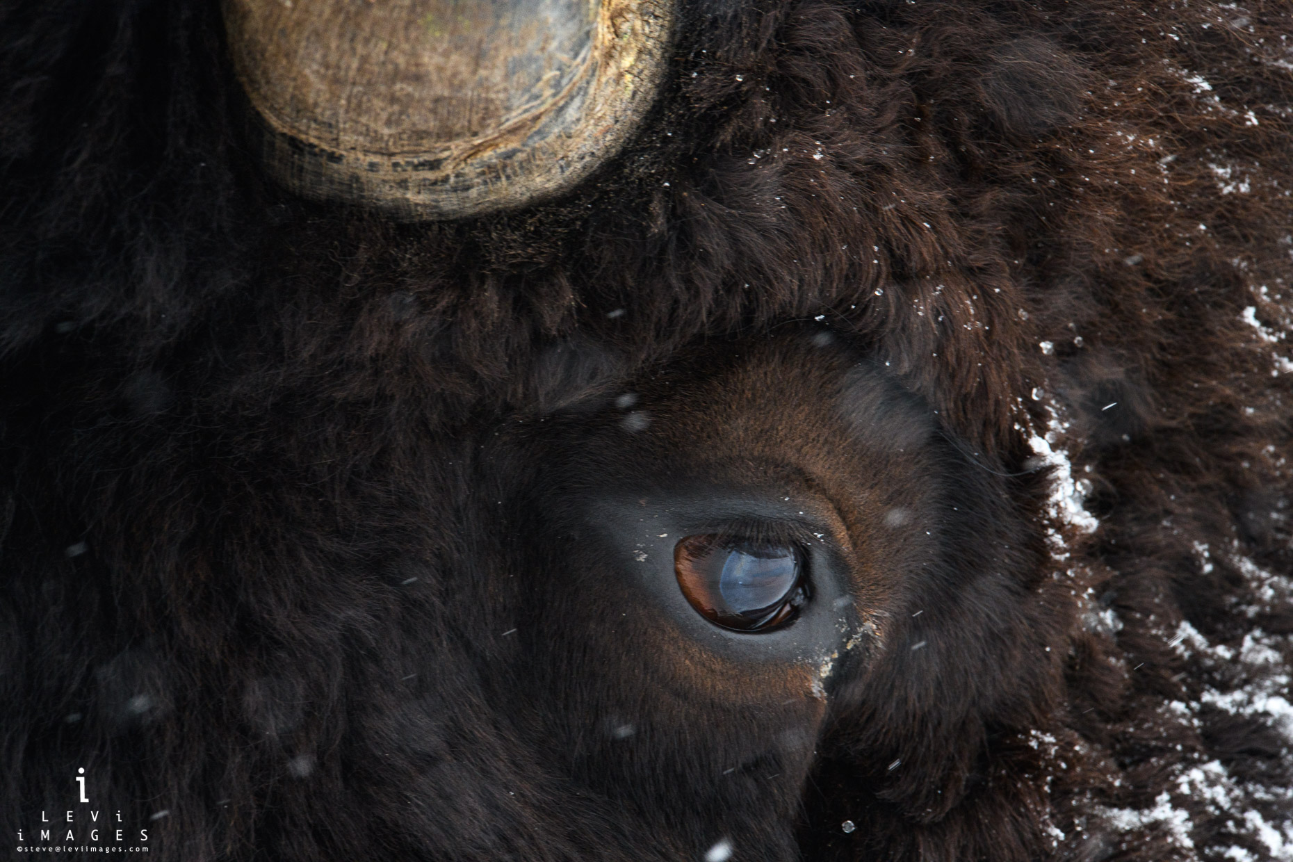Bison (Bison bison) eye and horn close-up. Yellowstone National Park, Wyoming