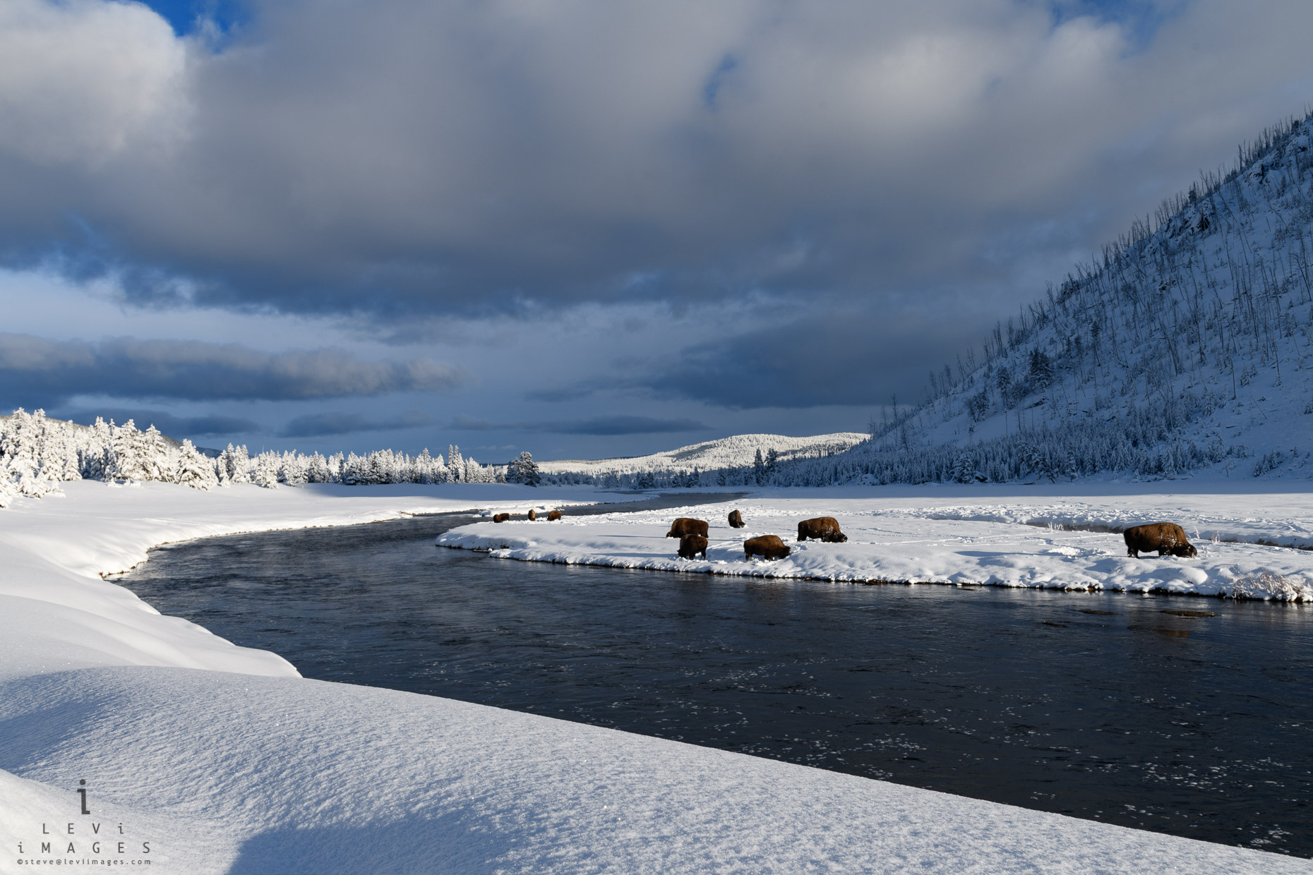 Bison (Bison bison) along the Madison River in dramatic light. Yellowstone National Park, Wyoming