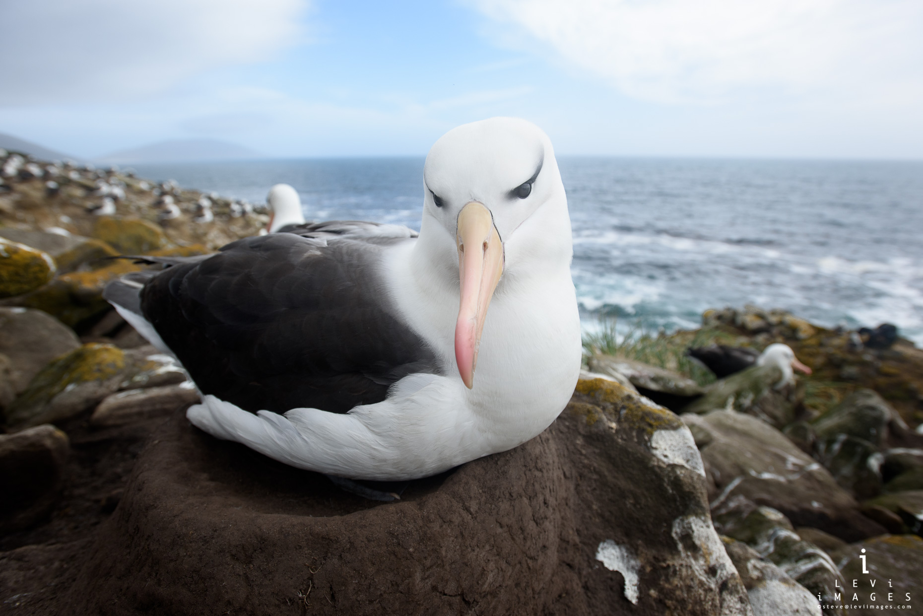 Black-Browed albatross on nest Saunders Island