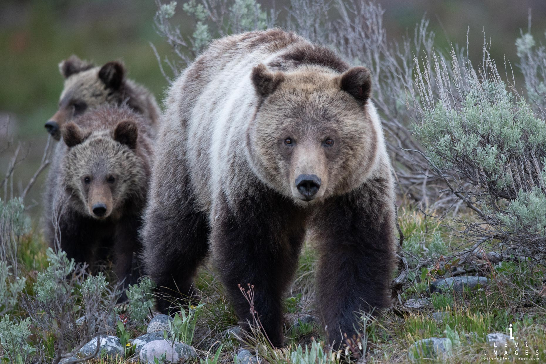 Grizzly bear (Ursus arctos) and cubs walk out of brush. Grand Teton National Park, Wyoming
