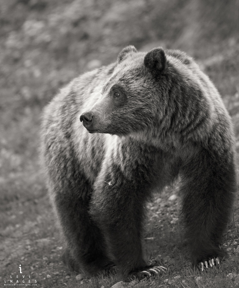 Blondie : grizzly bear (Ursus arctos) portrait in sepia. Grand Teton National Park , Wyoming