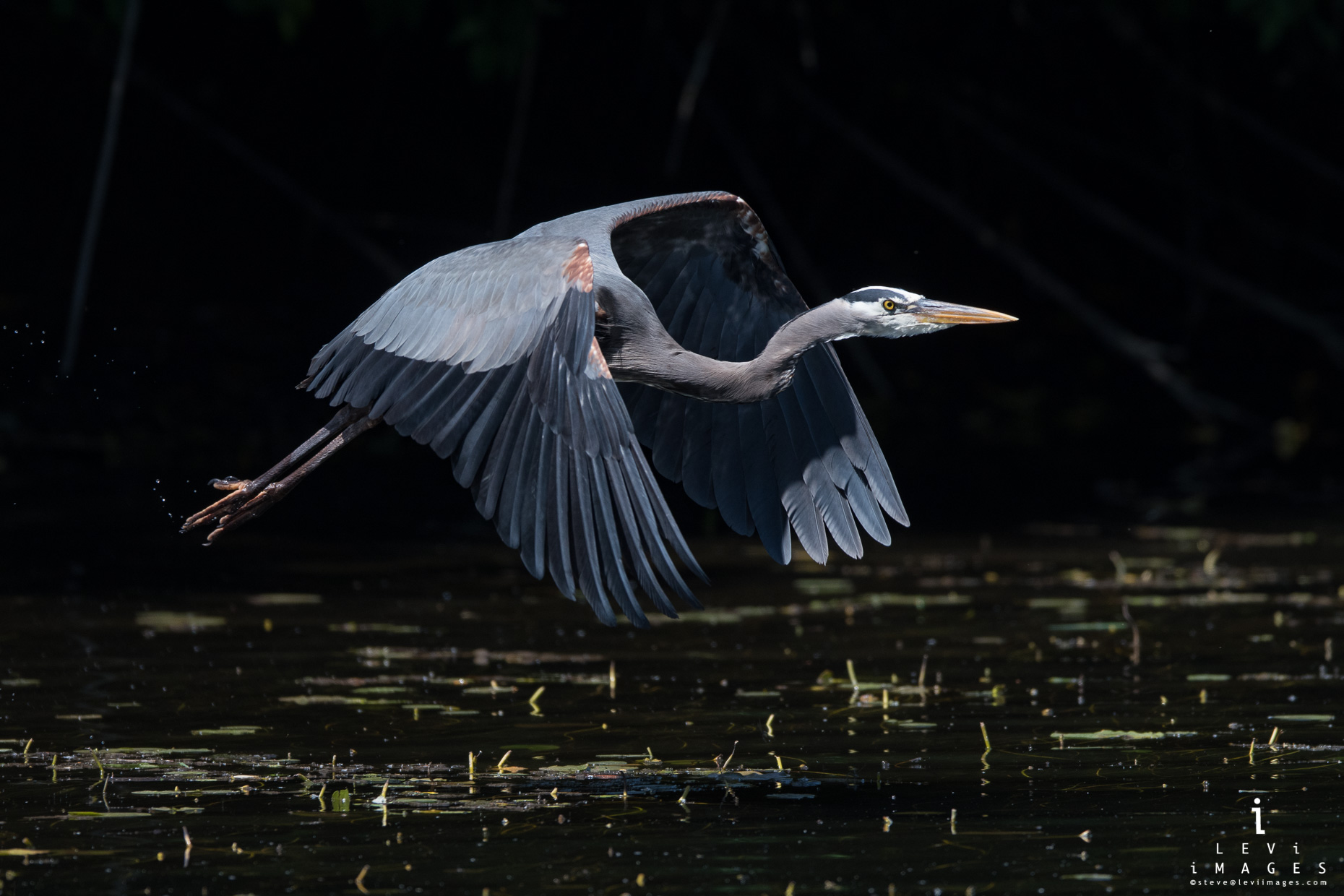 Great blue heron (Ardea herodias) takes off from stream. Marymoor Park, Washington