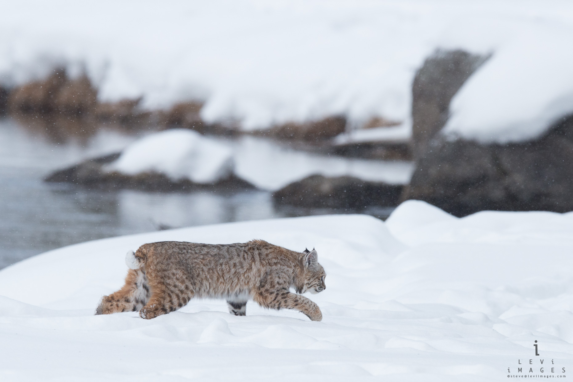 Bobcat (Lynx rufus) on the prowl in snow. Yellowstone National Park, Wyoming