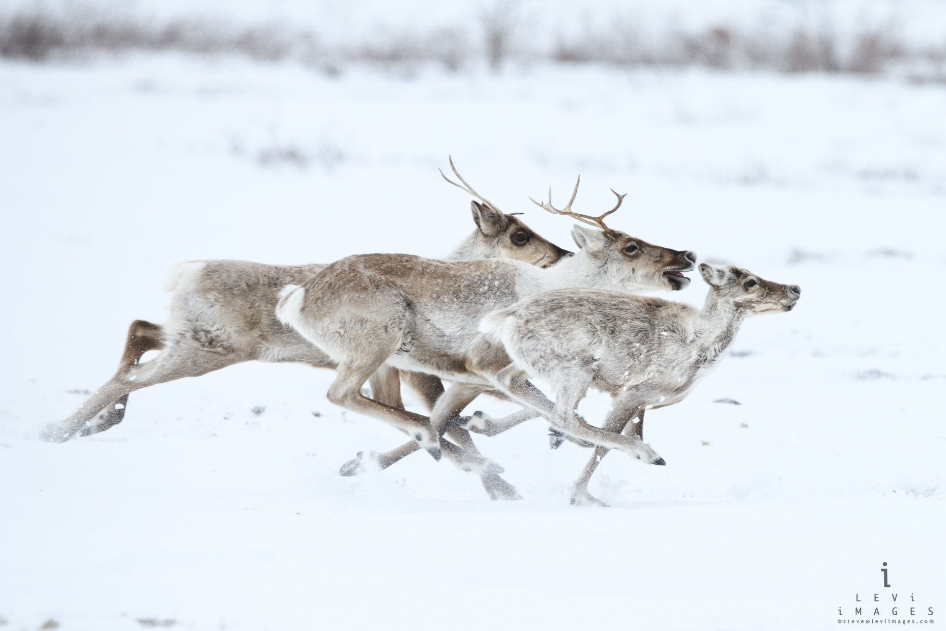 Caribou (Rangifer tarandus) in full gallop. Wapusk National Park, Manitoba, Canada