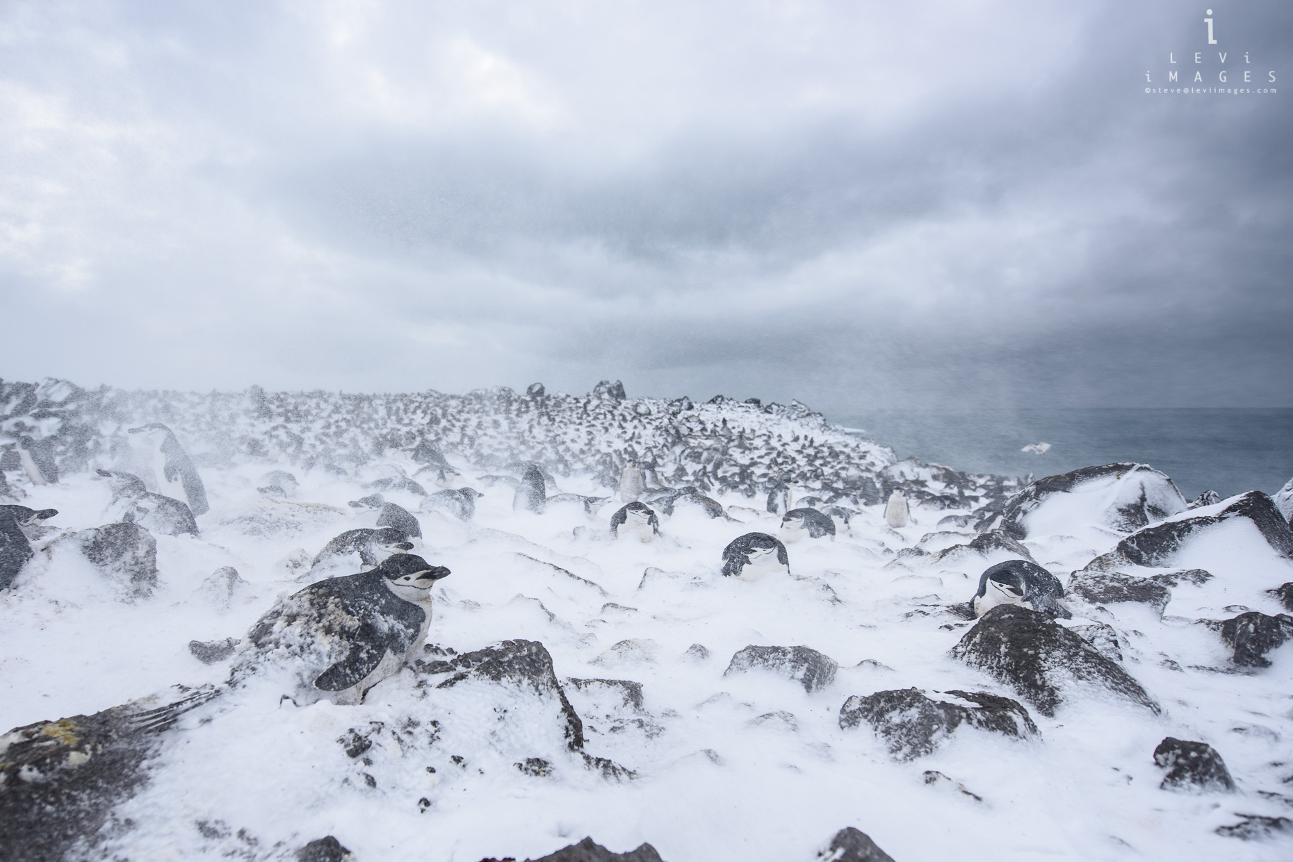 Chinstrap penguin (Pygoscelis antarcticus) colony during snowstorm. Penguin Island, Antarctica
