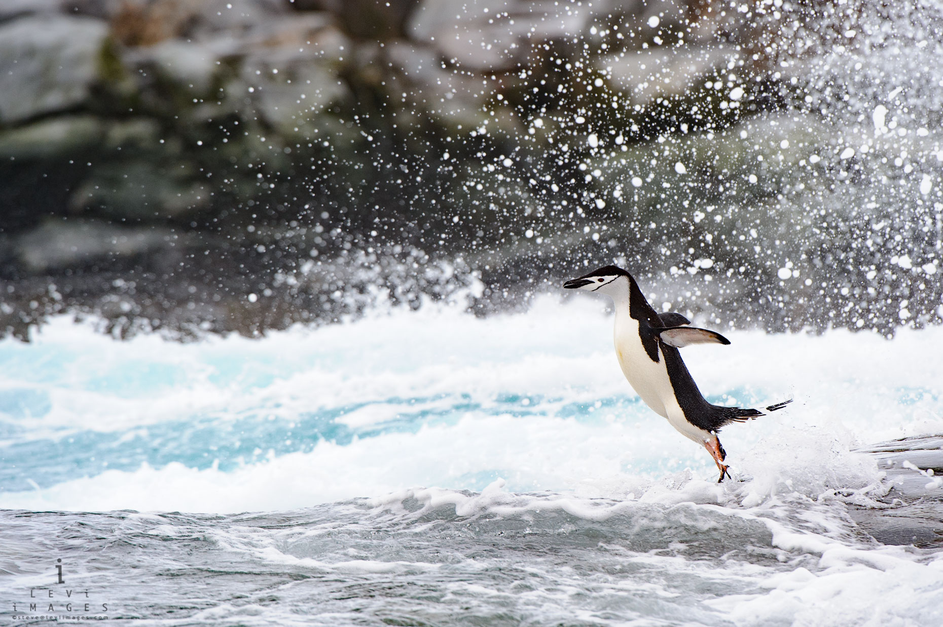 Chinstrap penguin (Pygoscelis antarcticus) jumping in spray. Antarctica