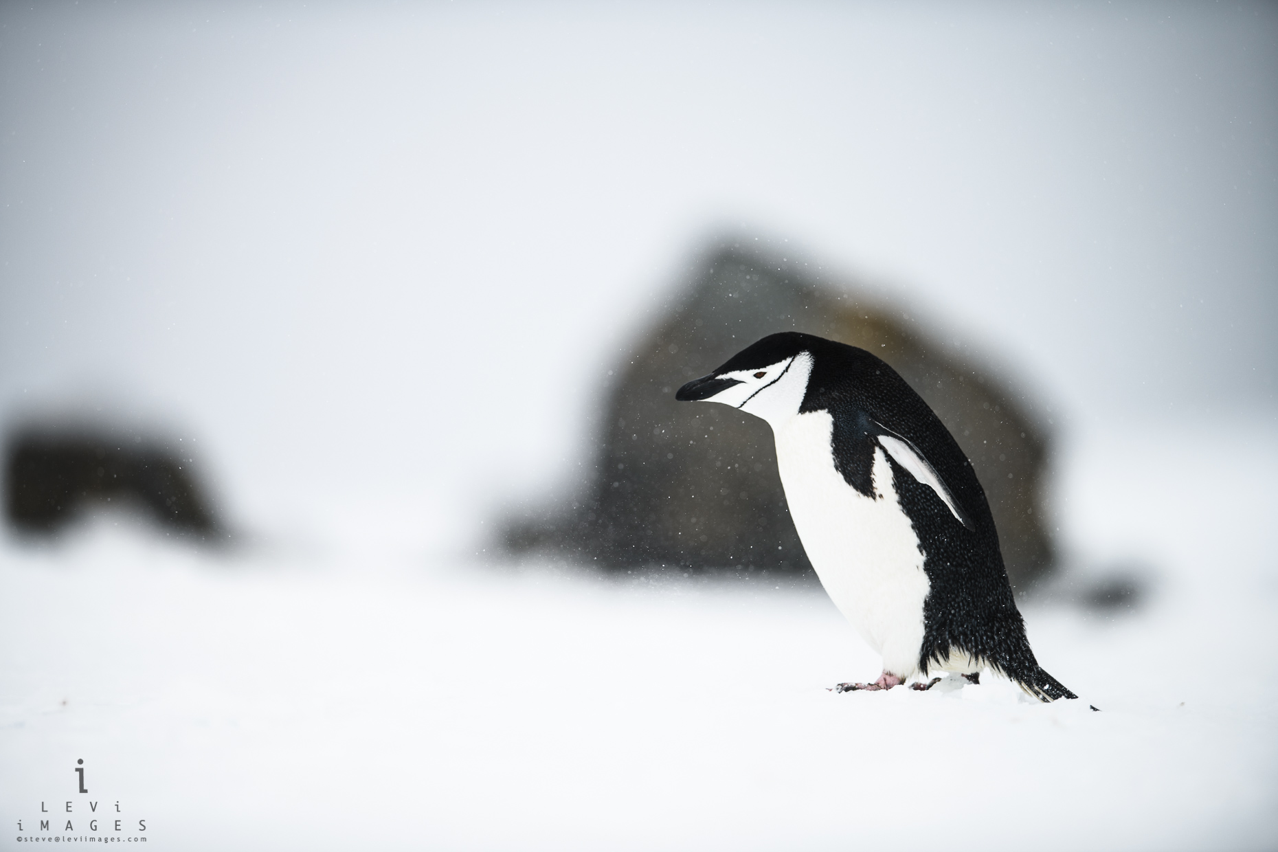 Chinstrap penguin (Pygoscelis antarcticus) walking through light snow storm. Penguin island, Antarctica