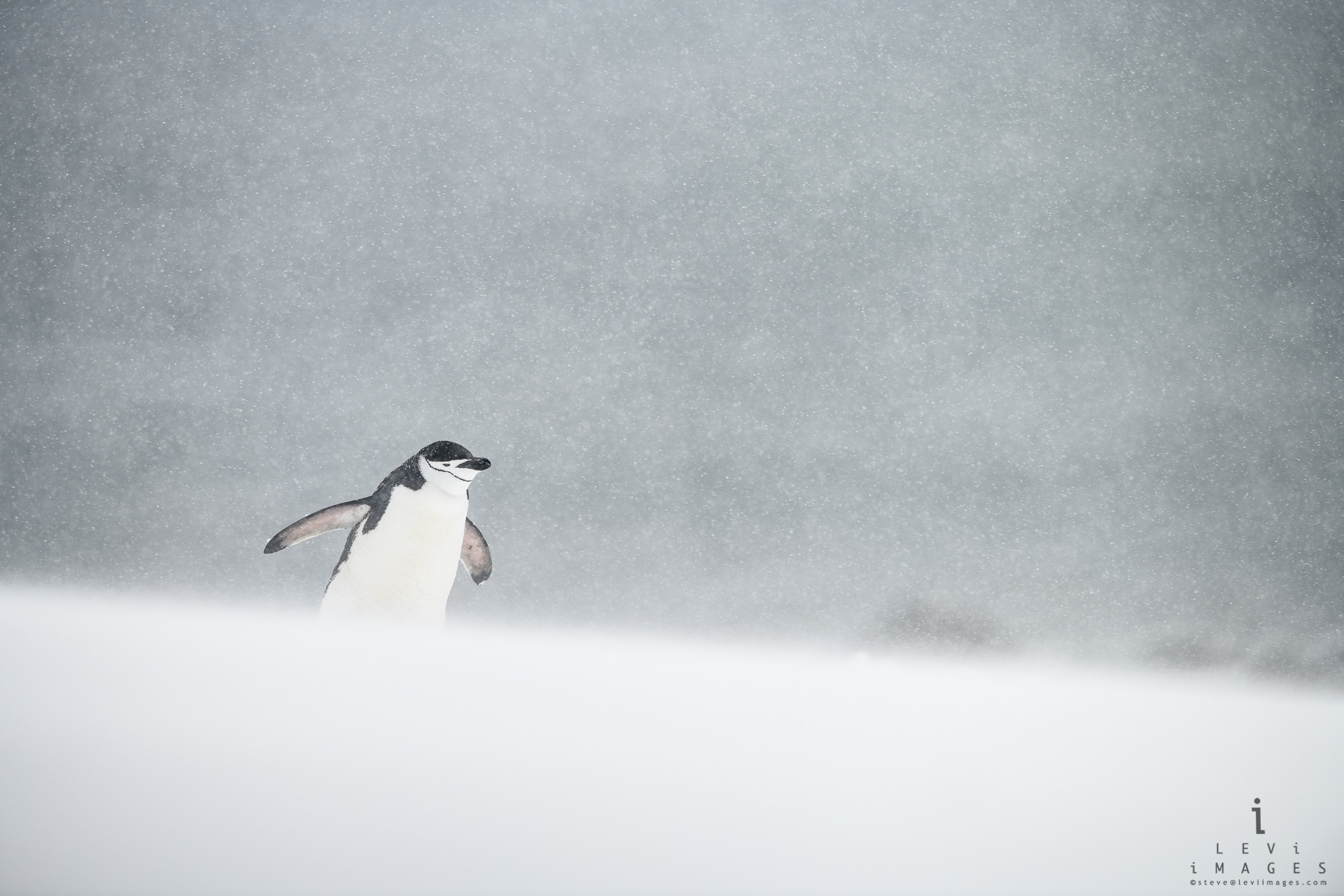 Chinstrap penguin (Pygoscelis antarcticus) in snowstorm.  Angry sea, Penguin Island, Antarctica