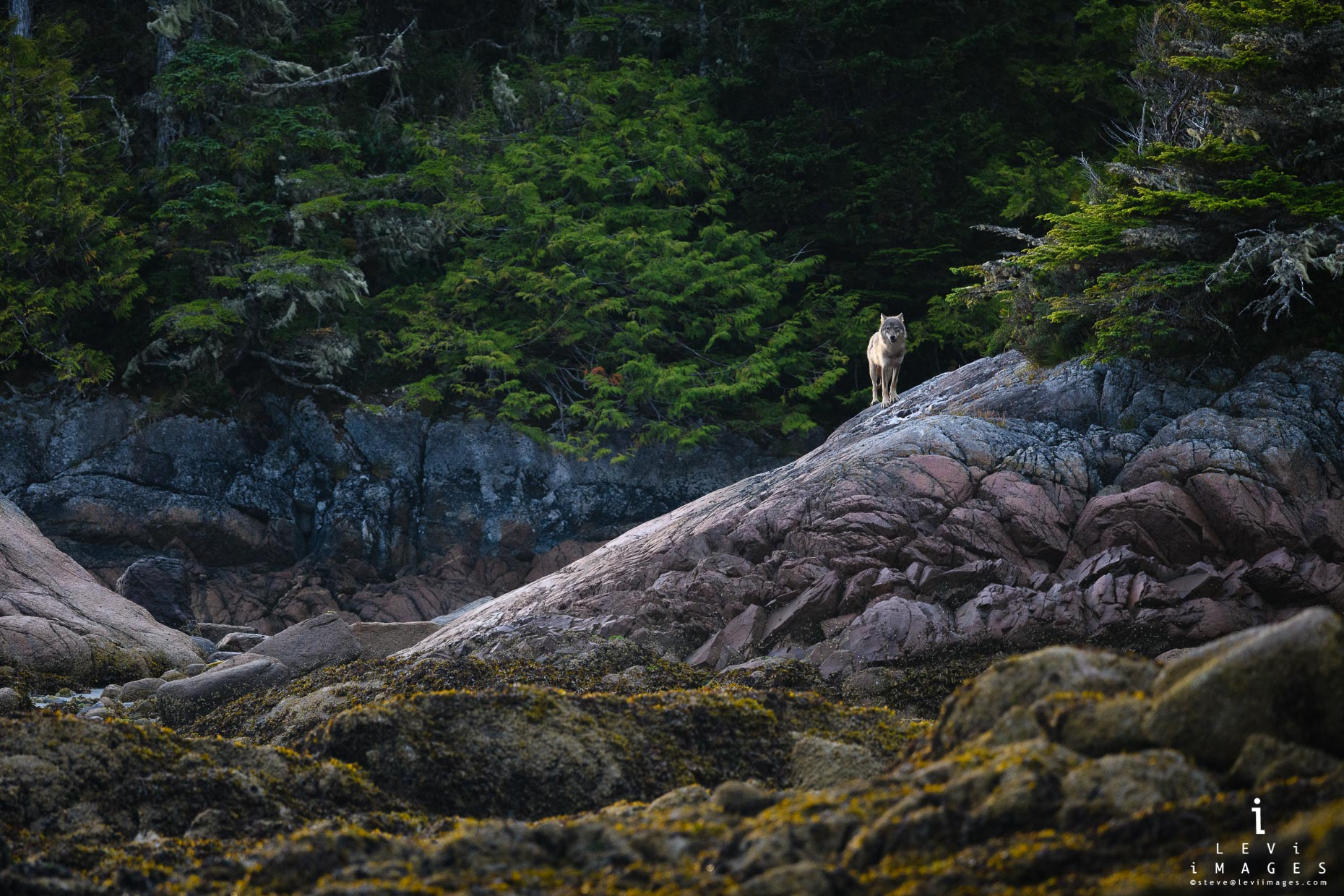 Sea Wolf in the intertidal zone of Great Bear Rainforest