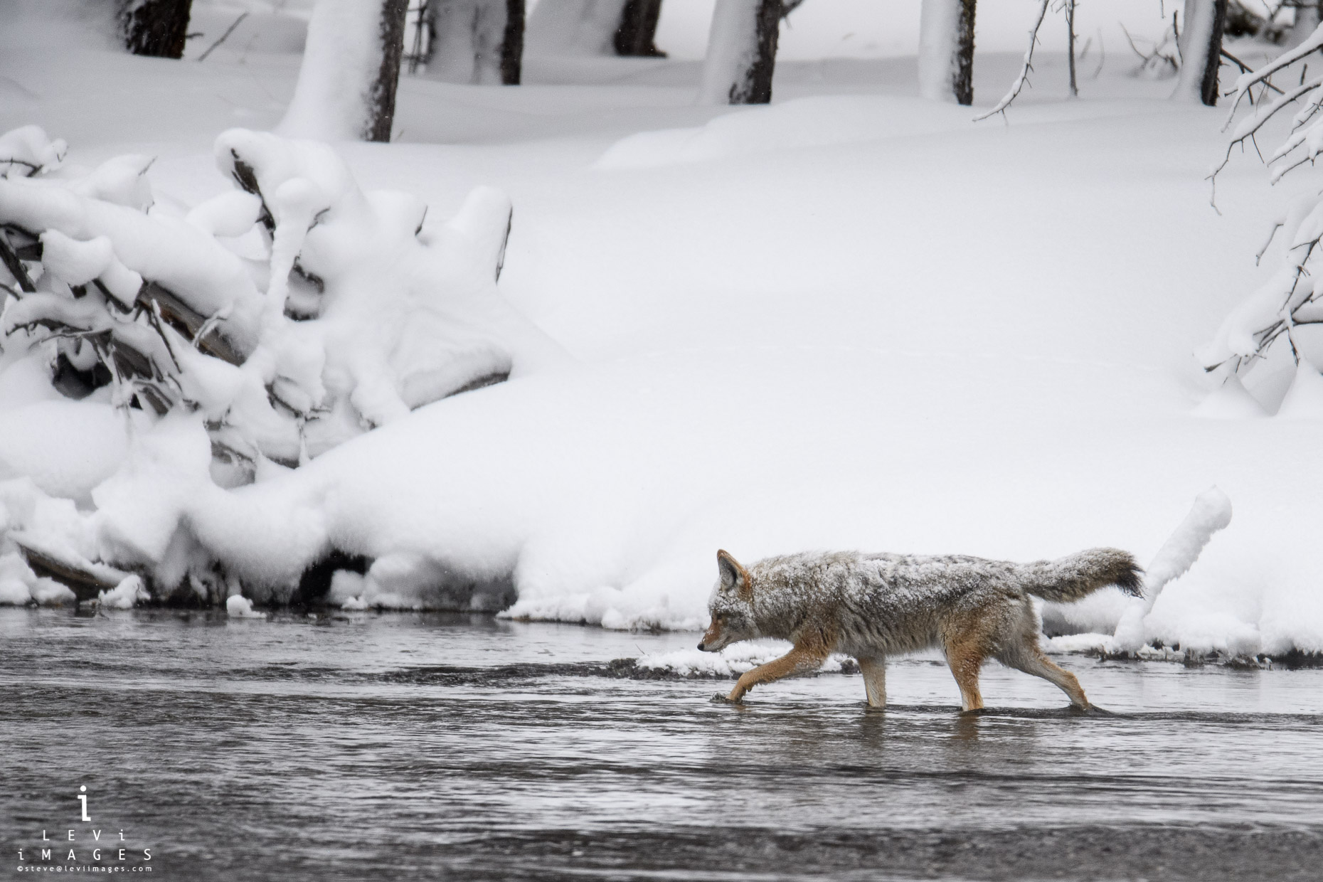 Snow-covered coyote (Canis latrans) fishing in Yellowstone National Park, Wyoming