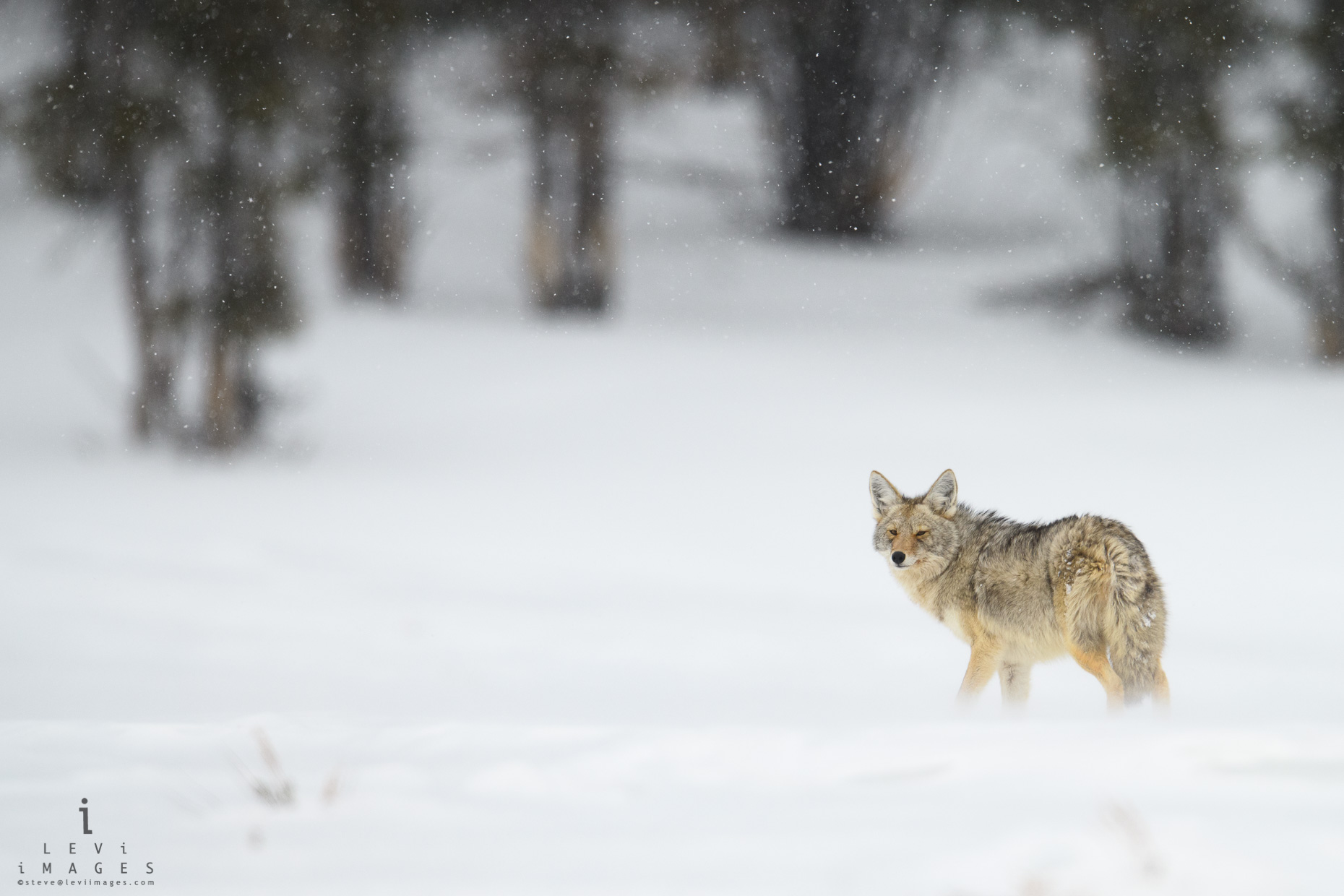 Coyote (Canis latrans) looks back during snowstorm. Yellowstone National Park, Wyoming