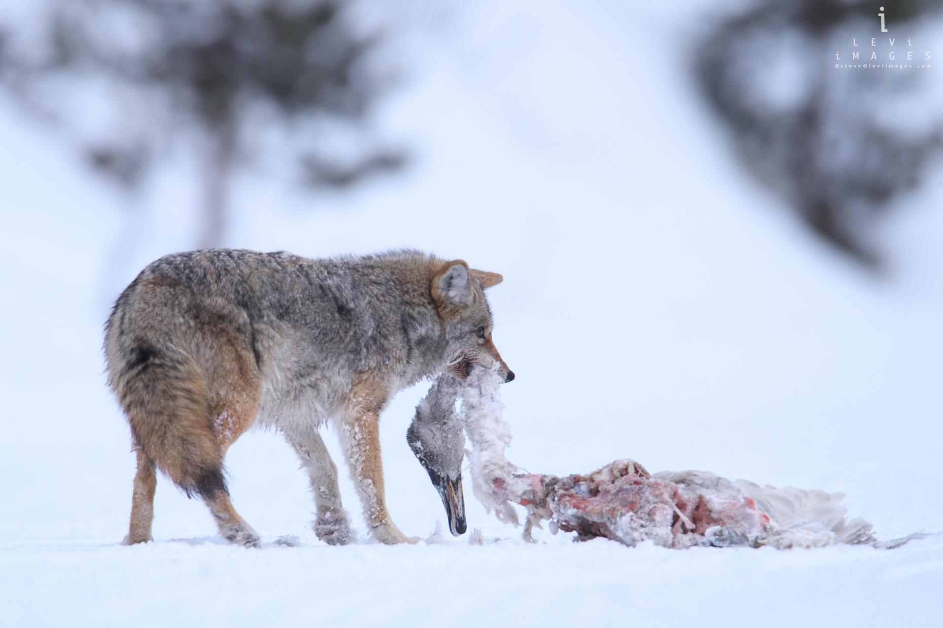 Coyote (Canis latrans) with goose kill in mouth. Yellowstone National Park, Wyoming
