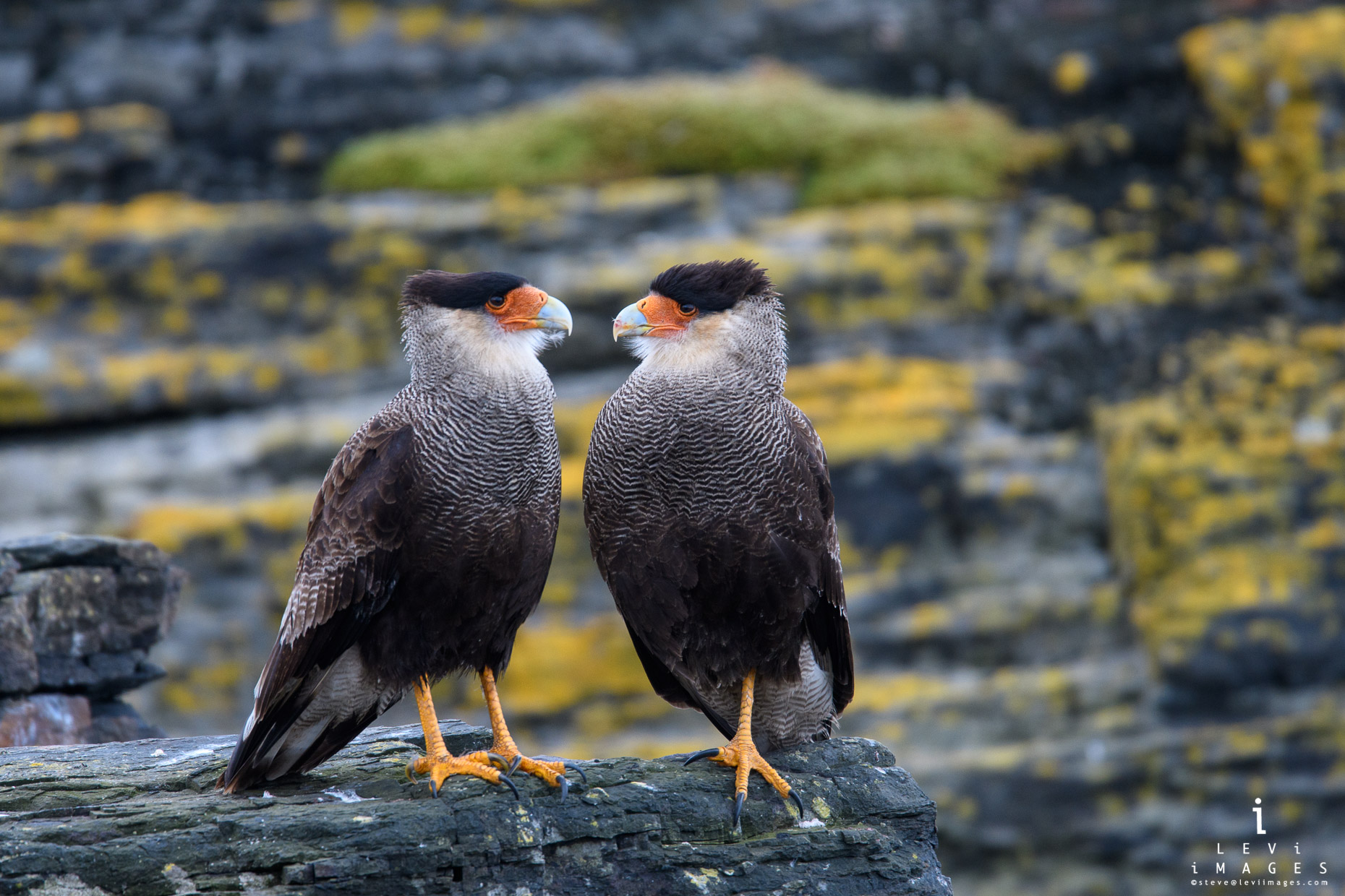 A pair of Southern crested caracara (Caracara plancus) poses in front of Moss-covered cliffs. Bleaker Island, Falkland Islands