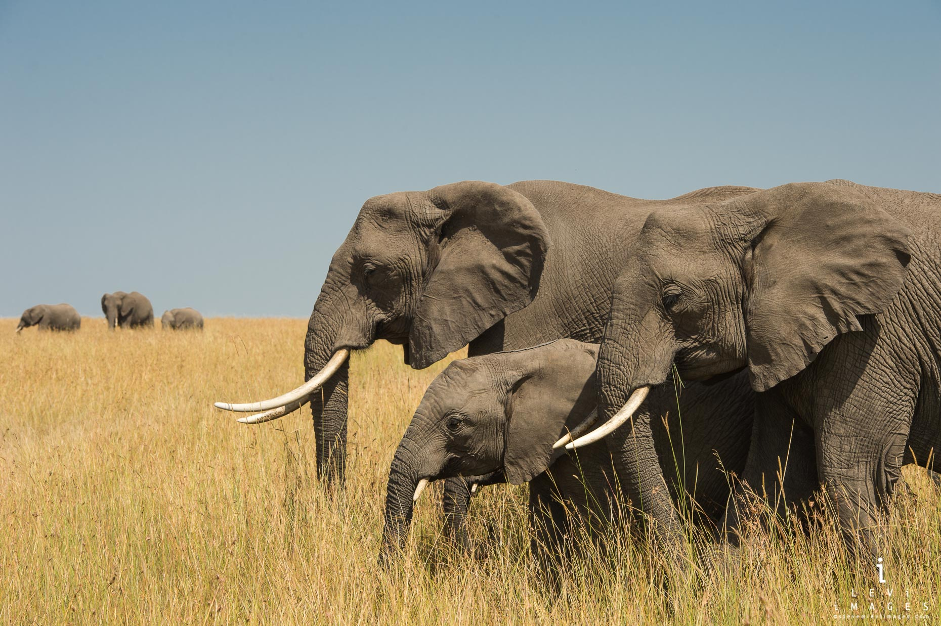 African bush Elephant (Loxodonta africana) families in the plains of Maasai Mara, Africa