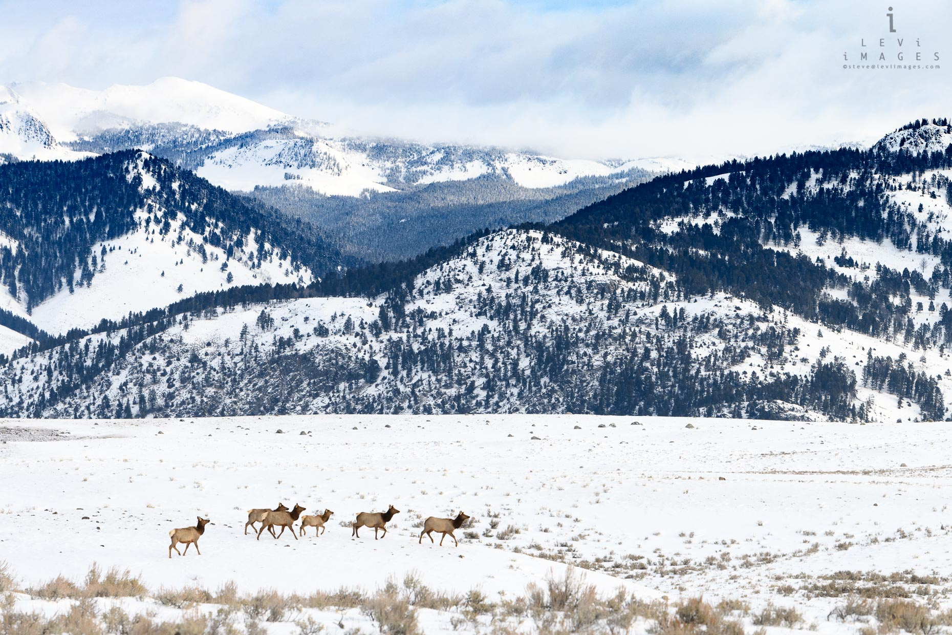 Elk (Cervus canadensis) traverse snow-covered meadow. Yellowstone National Park, Wyoming