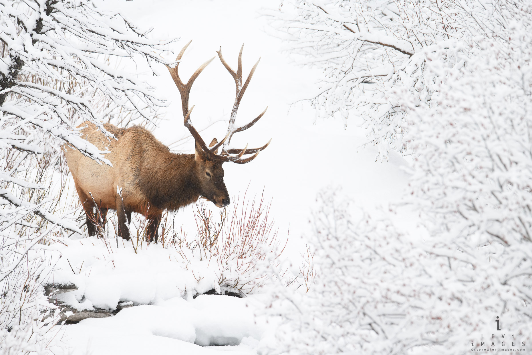 Elk (Cervus canadensis) in winter wonderland. Yellowstone National Park, Wyoming