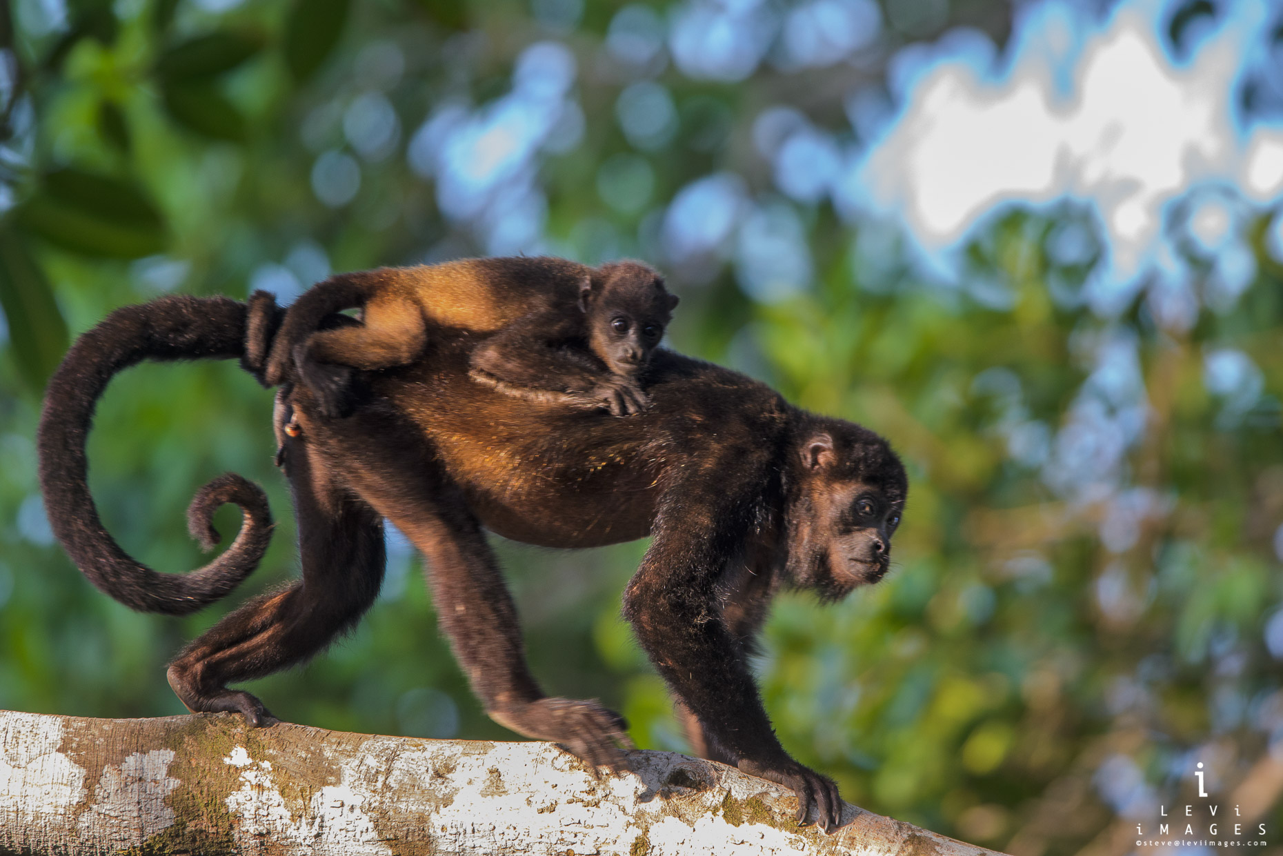 A mantled howler monkey (Alouatta palliata) baby wraps tail around mothers  tail. Osa Peninsula, Costa Rica