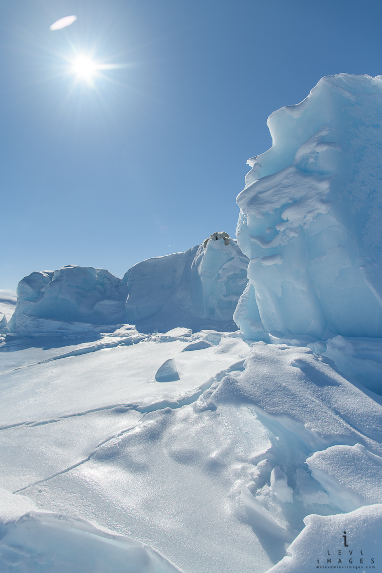 Polar bear (Ursus maritimus) rests atop iceberg frozen in the sea - wide-angle - vertical. Baffin Island, Nunavut, Canada