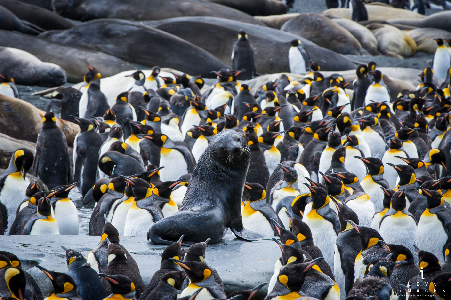 Antarctic fur seal (Arctocephalus gazella) sits on rock surrounded by penguins and elephant seals, South Georgia Island