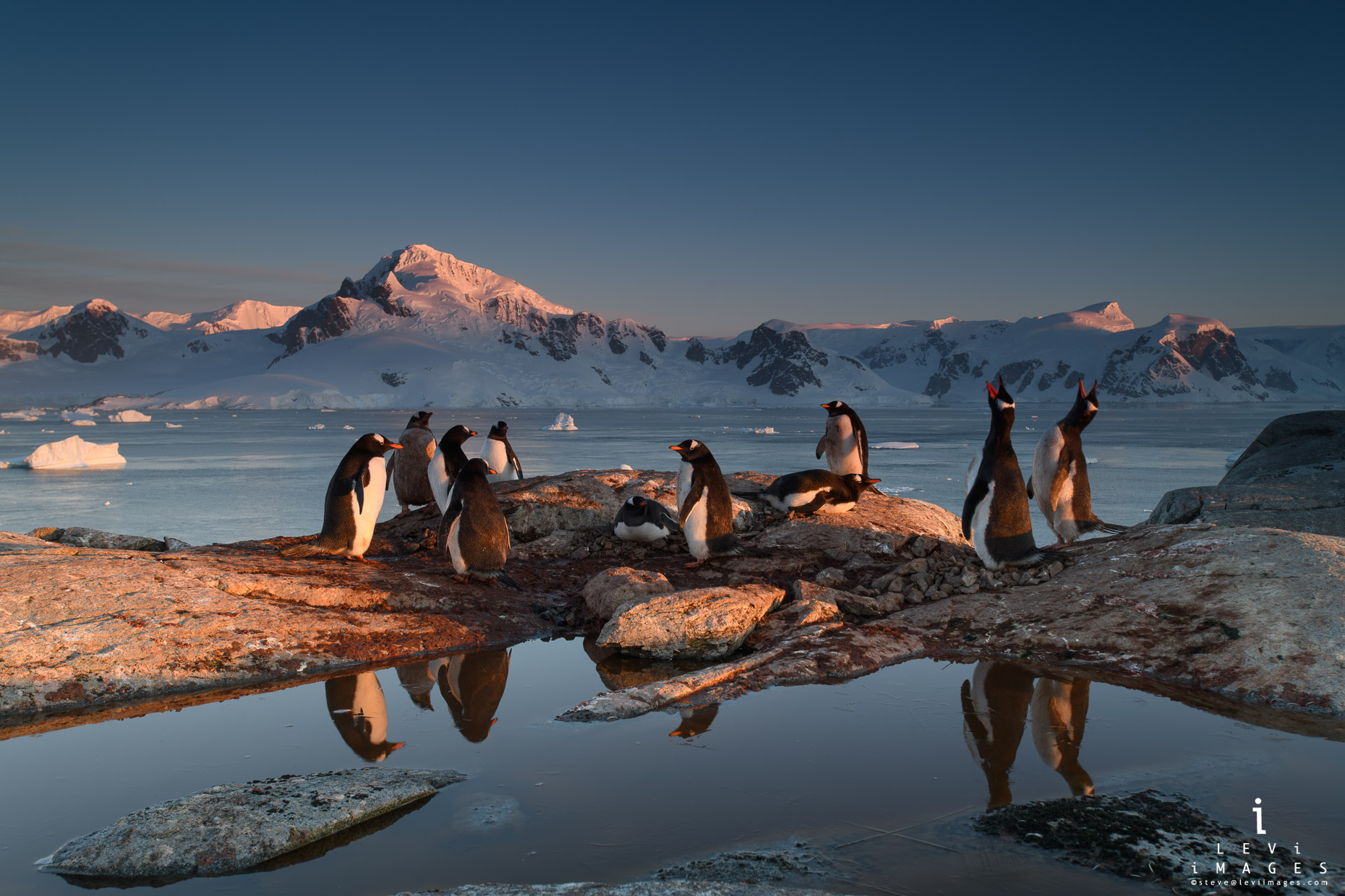 Gentoo penguins  (Pygoscelis papua) trumpeting and reflection at sunset. Useful Island, Antarctica