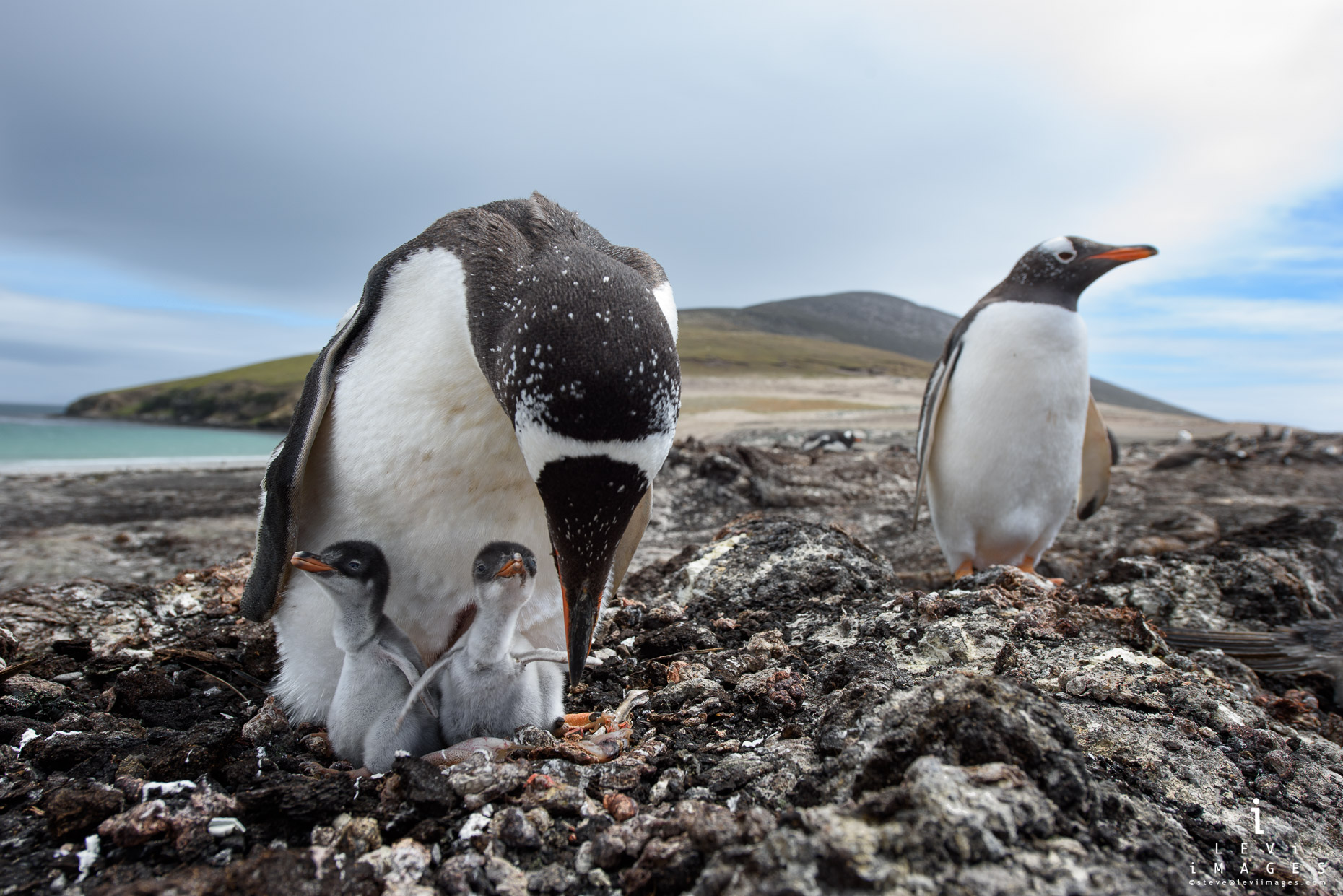 Gentoo penguin (Pygoscelis papua) and newly hatched chicks. Saunders Island, Falkland Islands