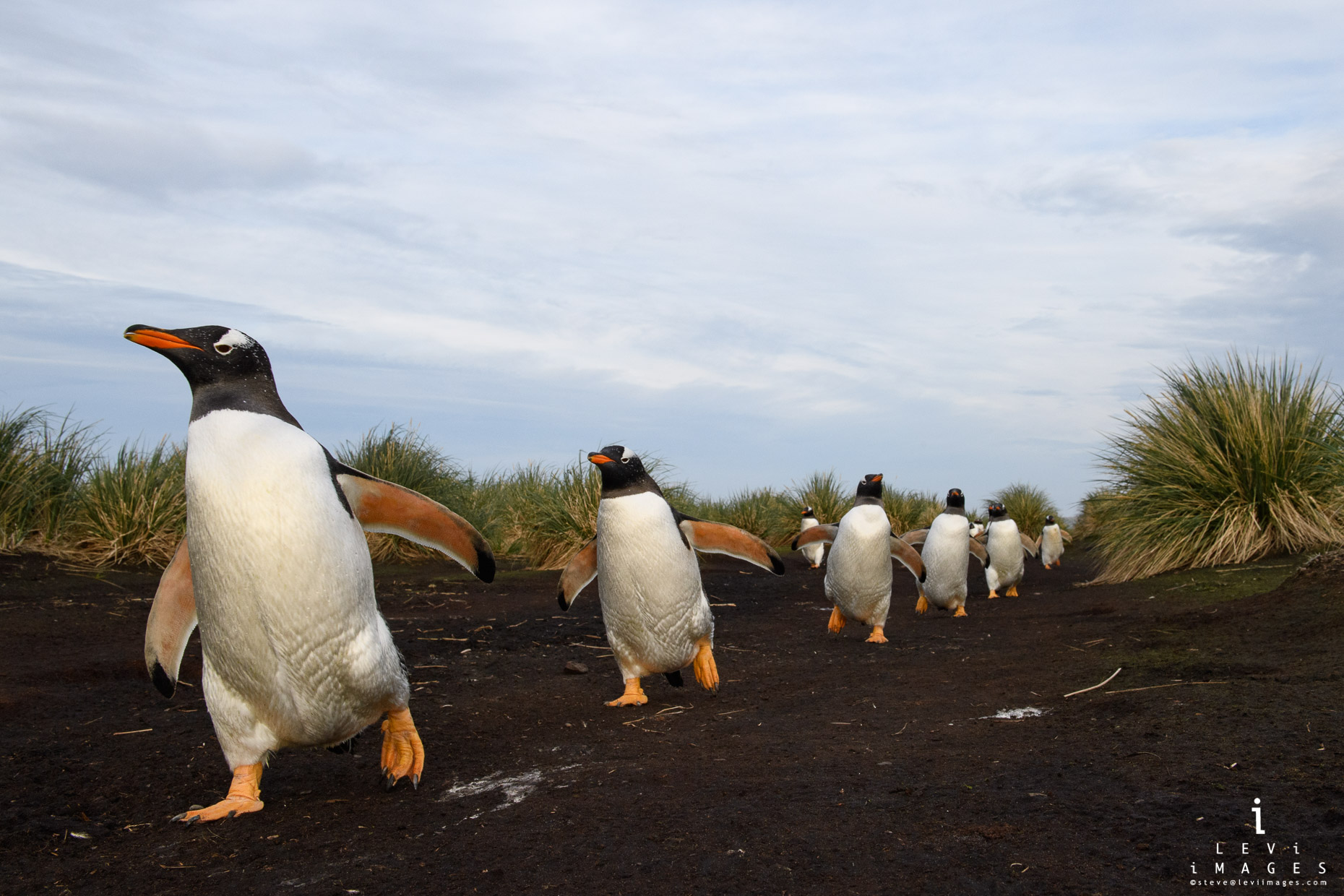 Gentoo penguins (Pygoscelis papua) marching along penguin highway. Sea Lion Island, Falkland Islands